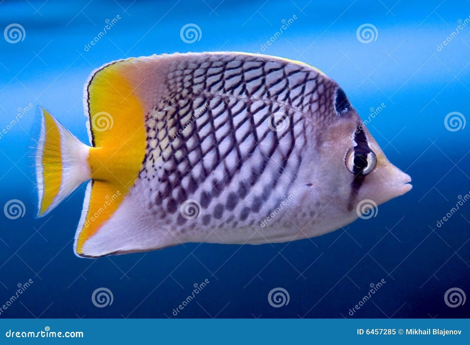 1 motylia crosshatch ryb