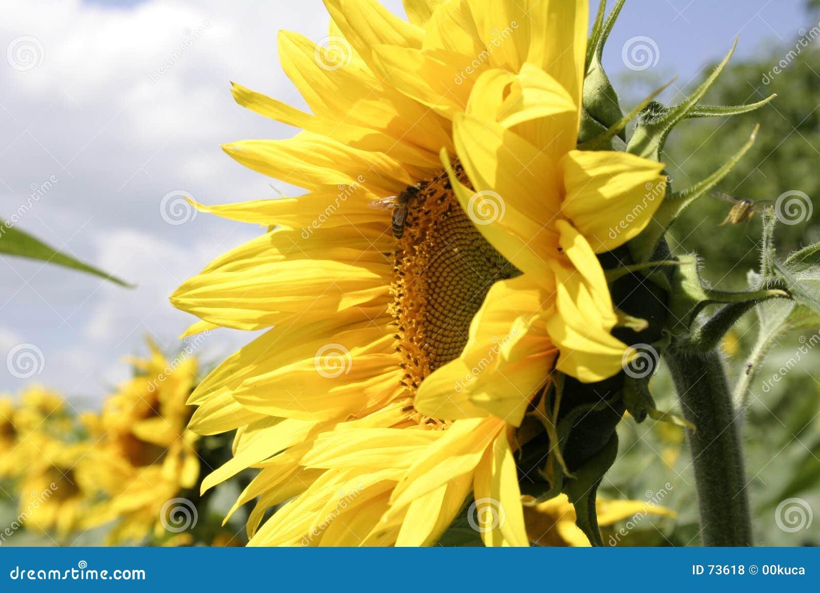1 słonecznik