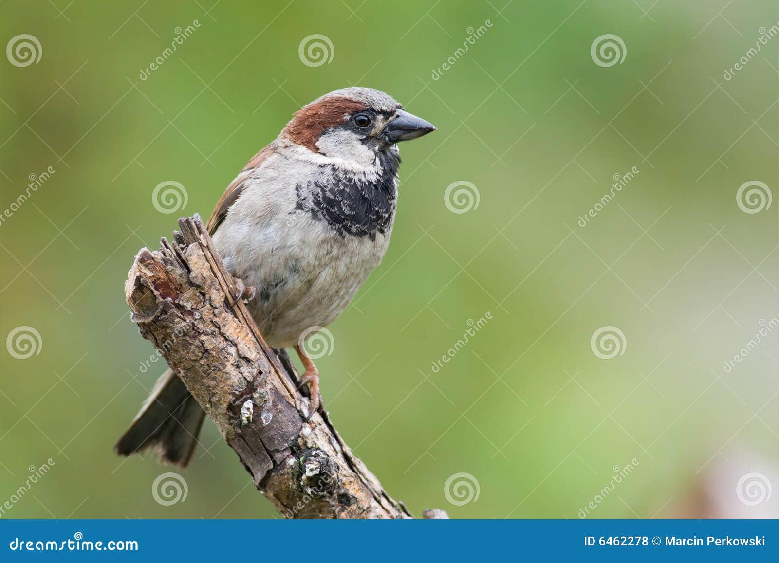 1 sparrow ptaka