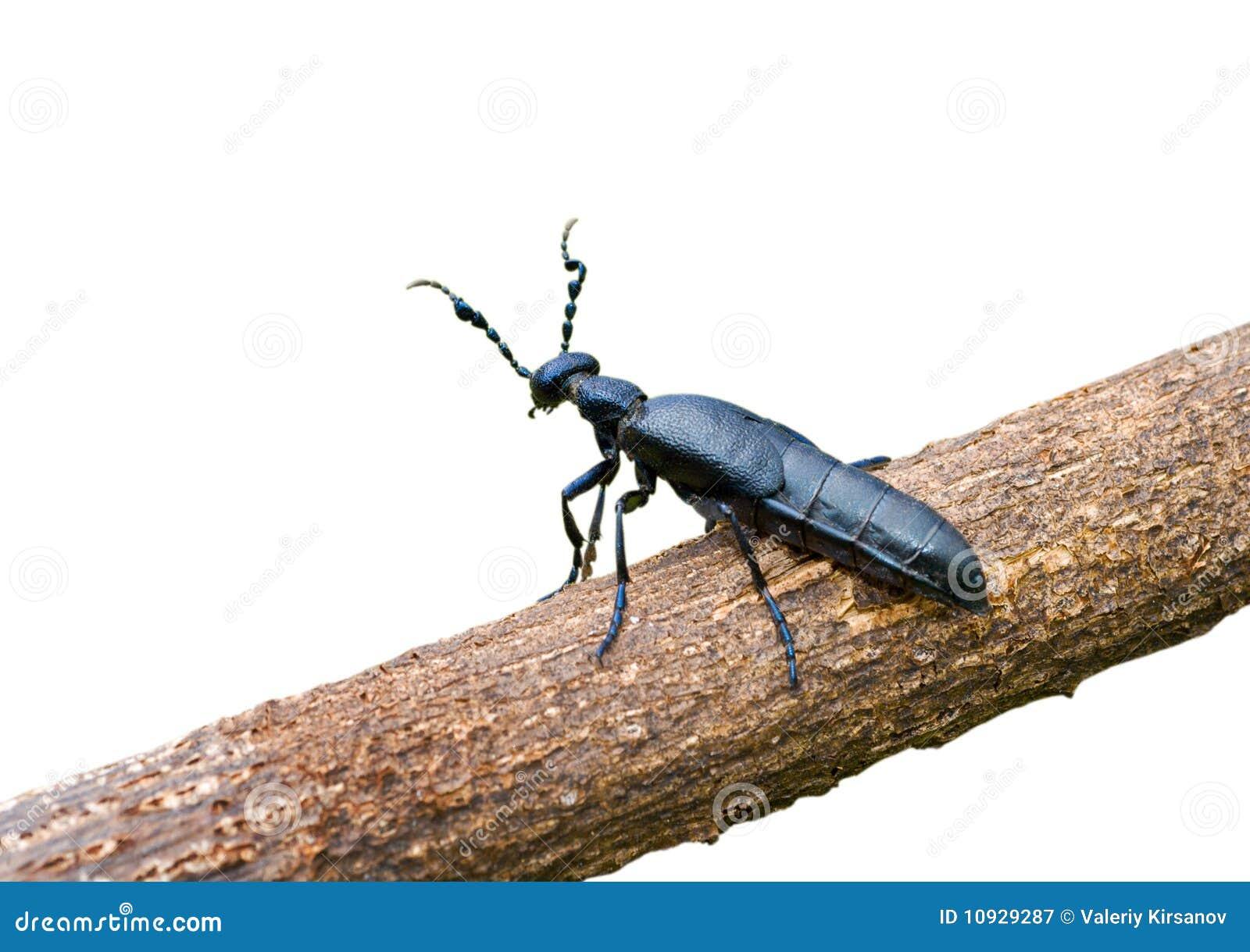 1 violatus sp meloe жука