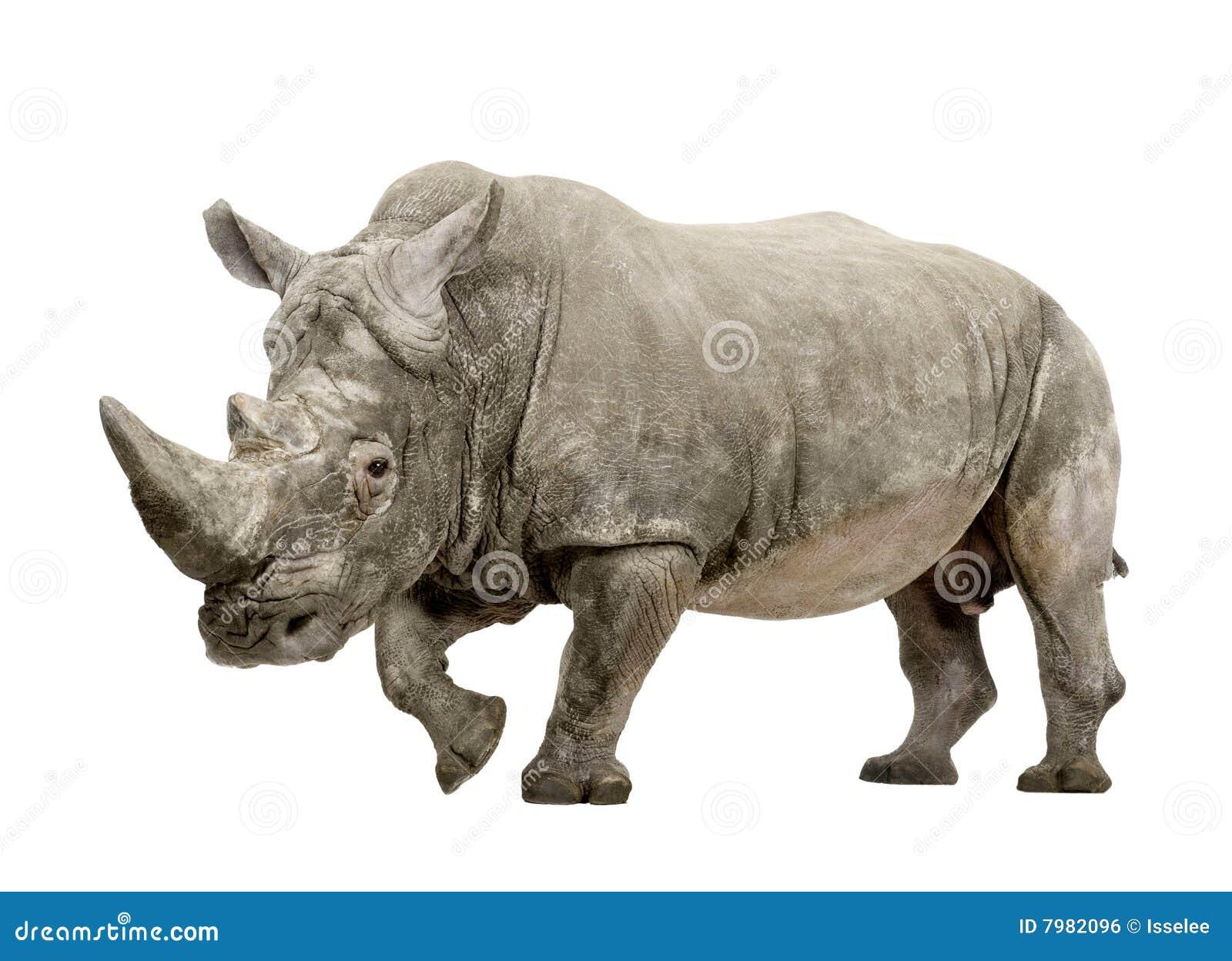 10 άσπρα έτη simum ρινοκέρων ceratotherium