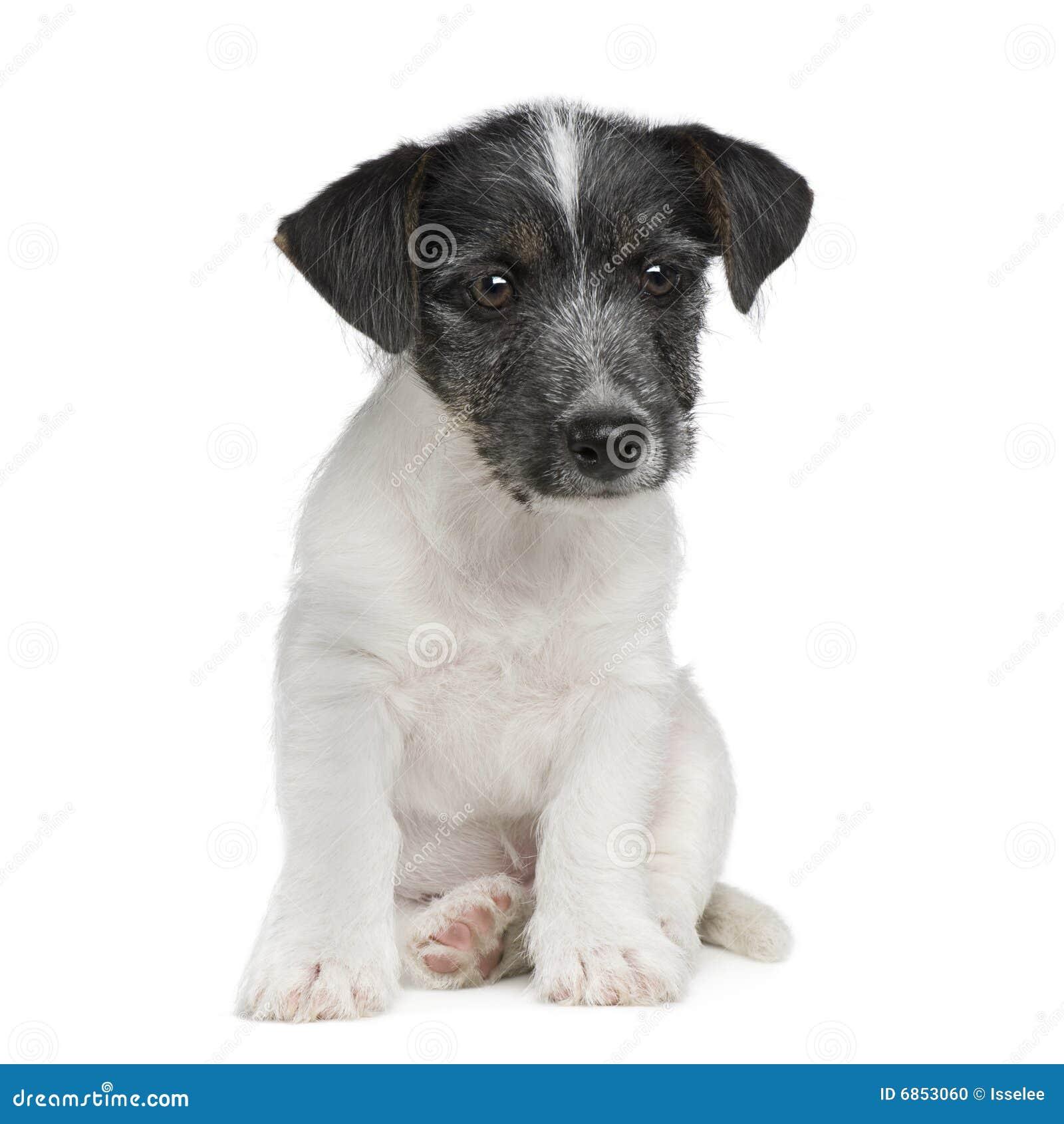 11 неделя russell щенка jack