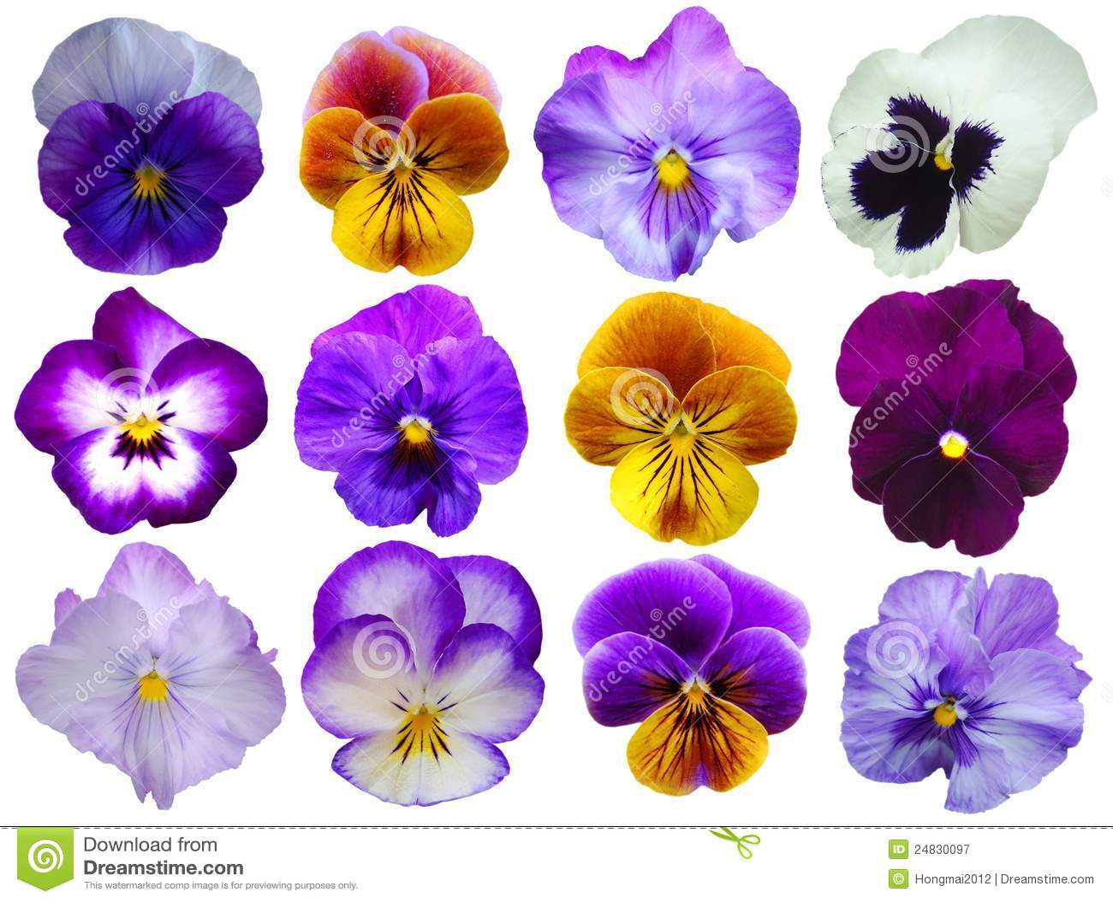 12 Pansies Flowers Stock Image Image Of Nine Single 24830097