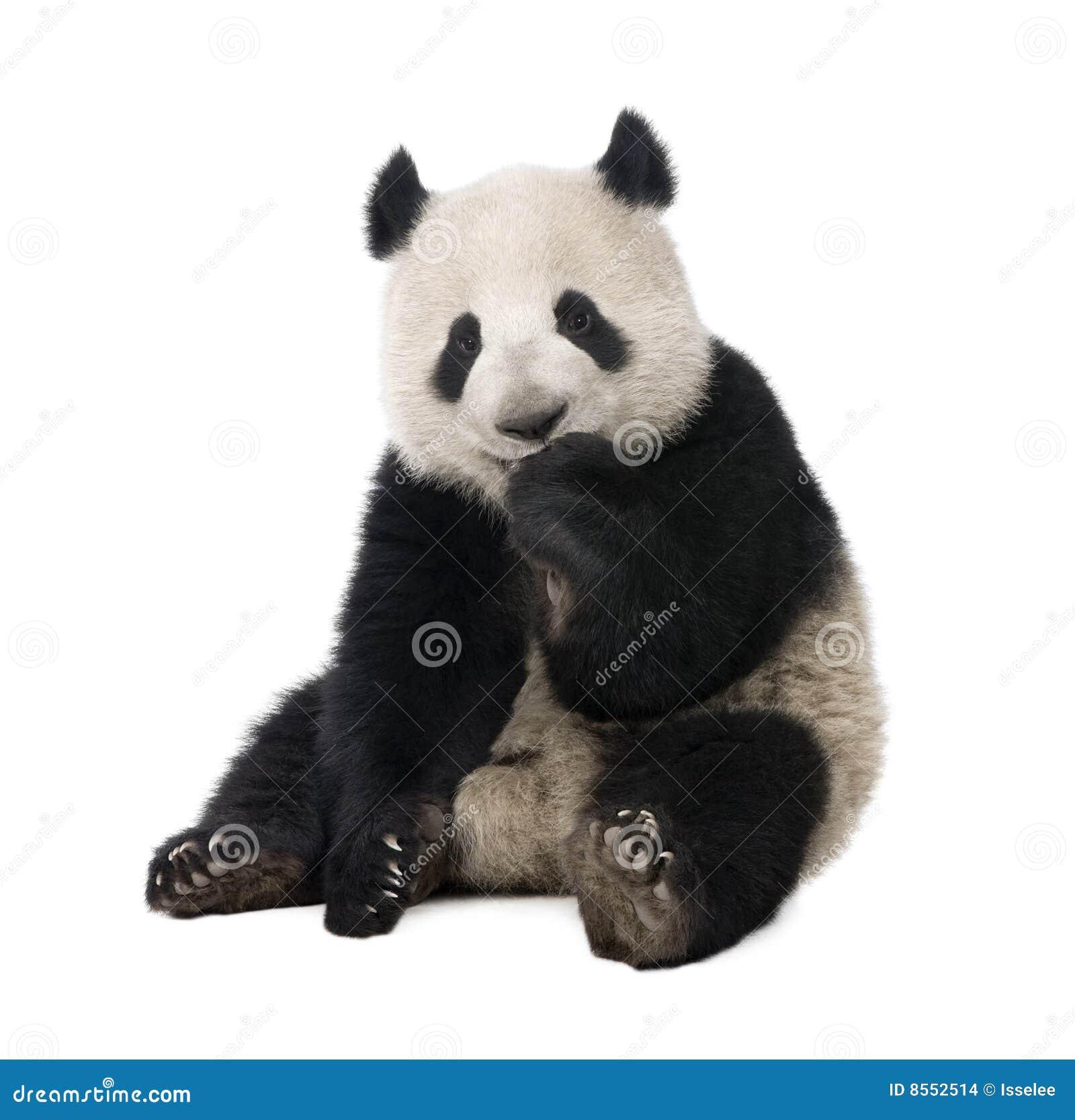 18个大猫熊巨型melanoleuca月熊猫