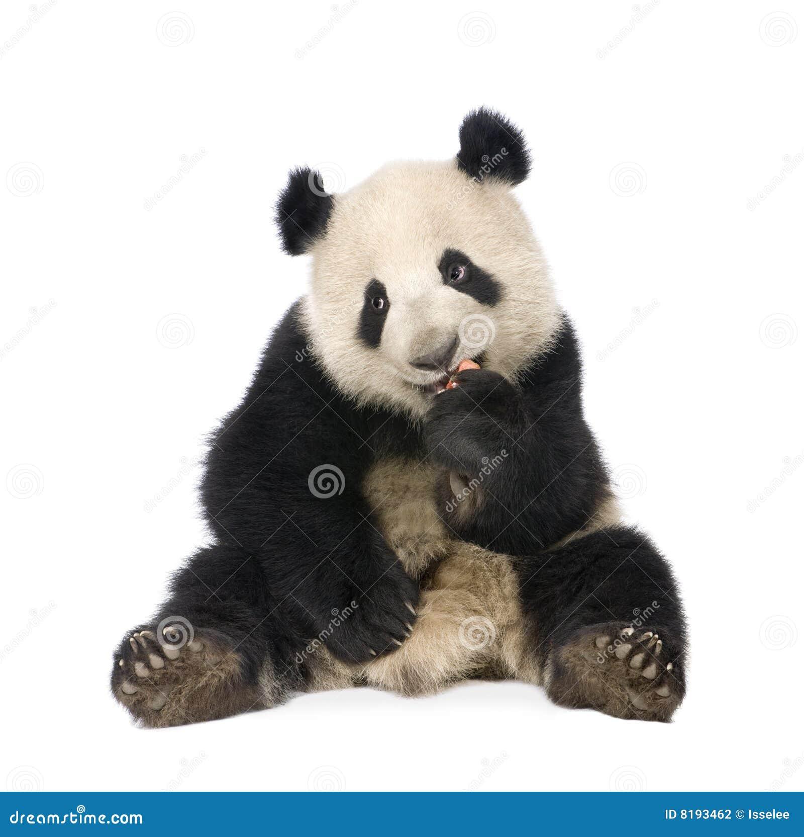18 ailuropoda gigantyczna melanoleuca miesiąc panda