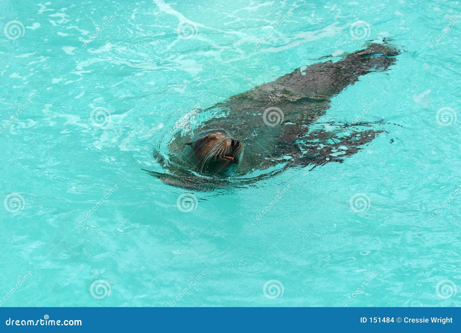 2个密封游泳