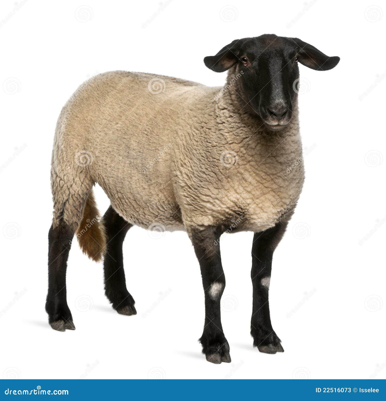 2白羊星座女性老ovis绵羊萨福克年