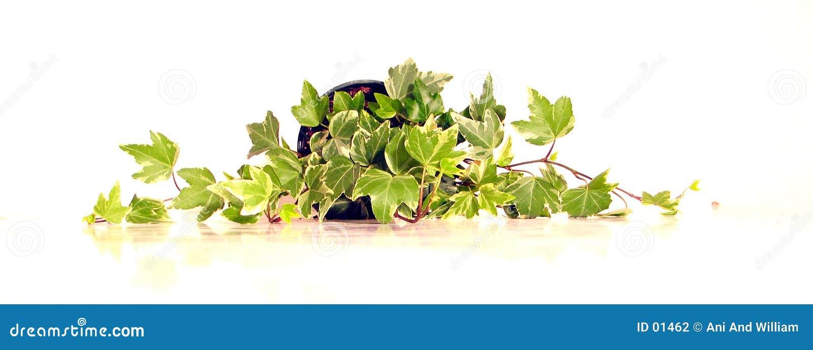2绿色常春藤