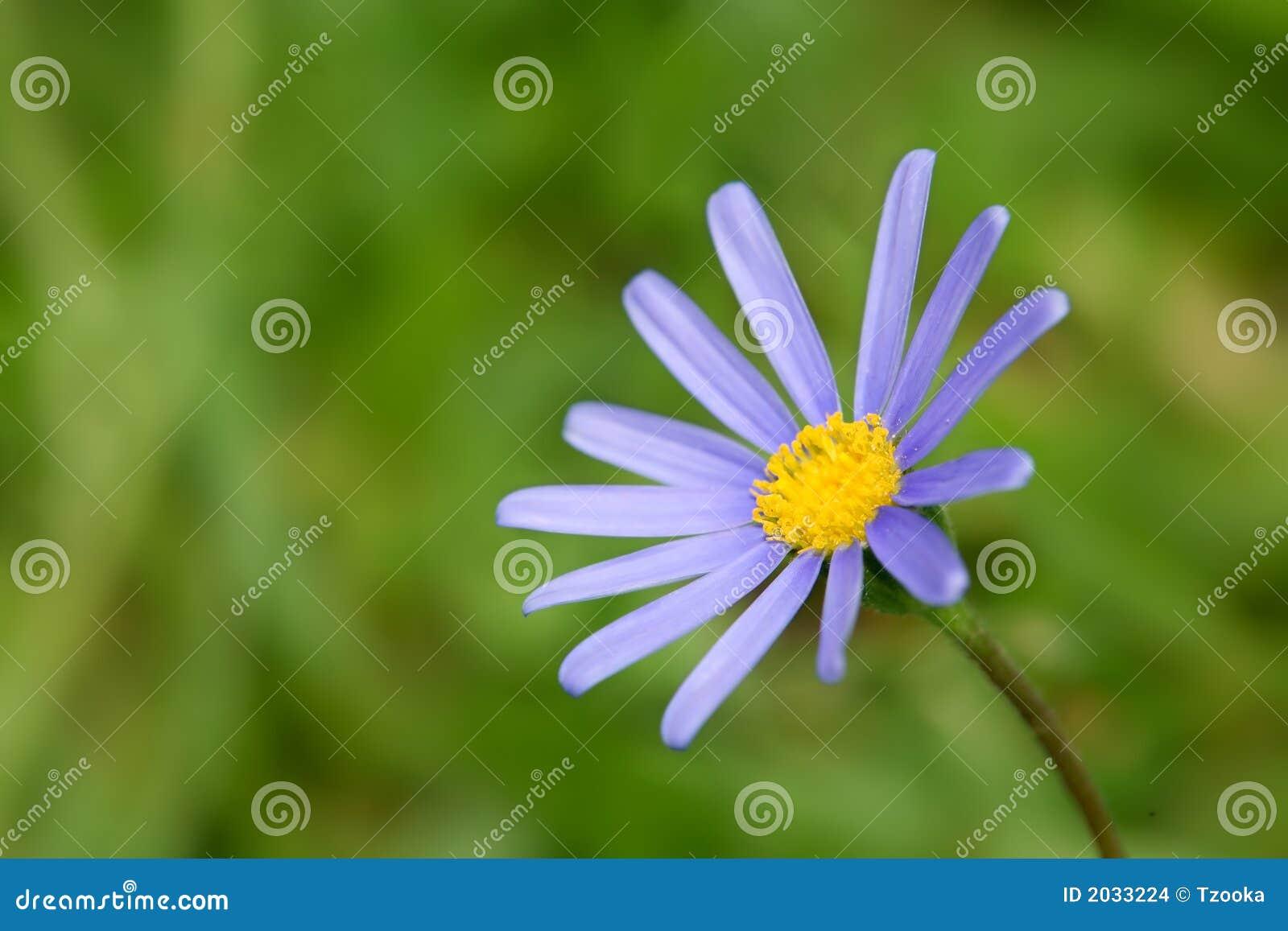 2蓝色延命菊