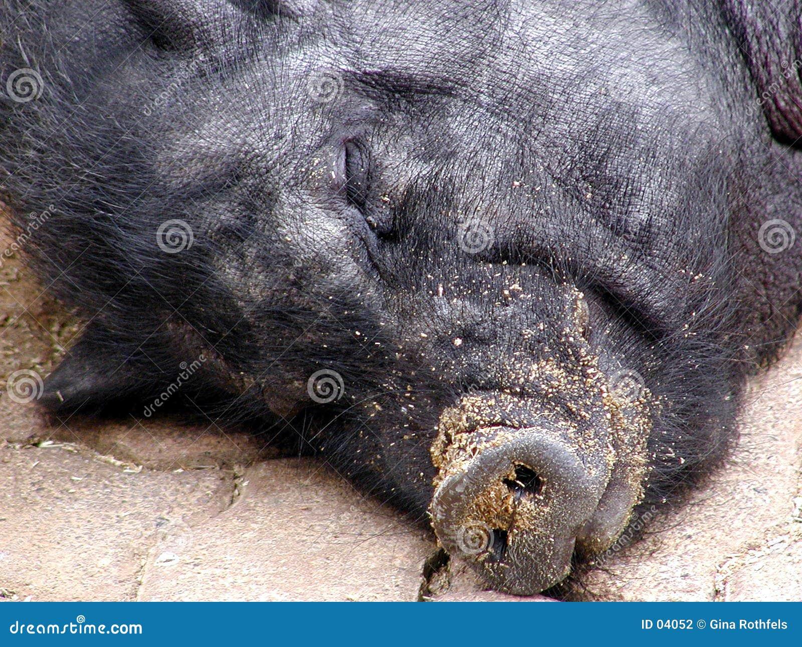 2 świń śpi