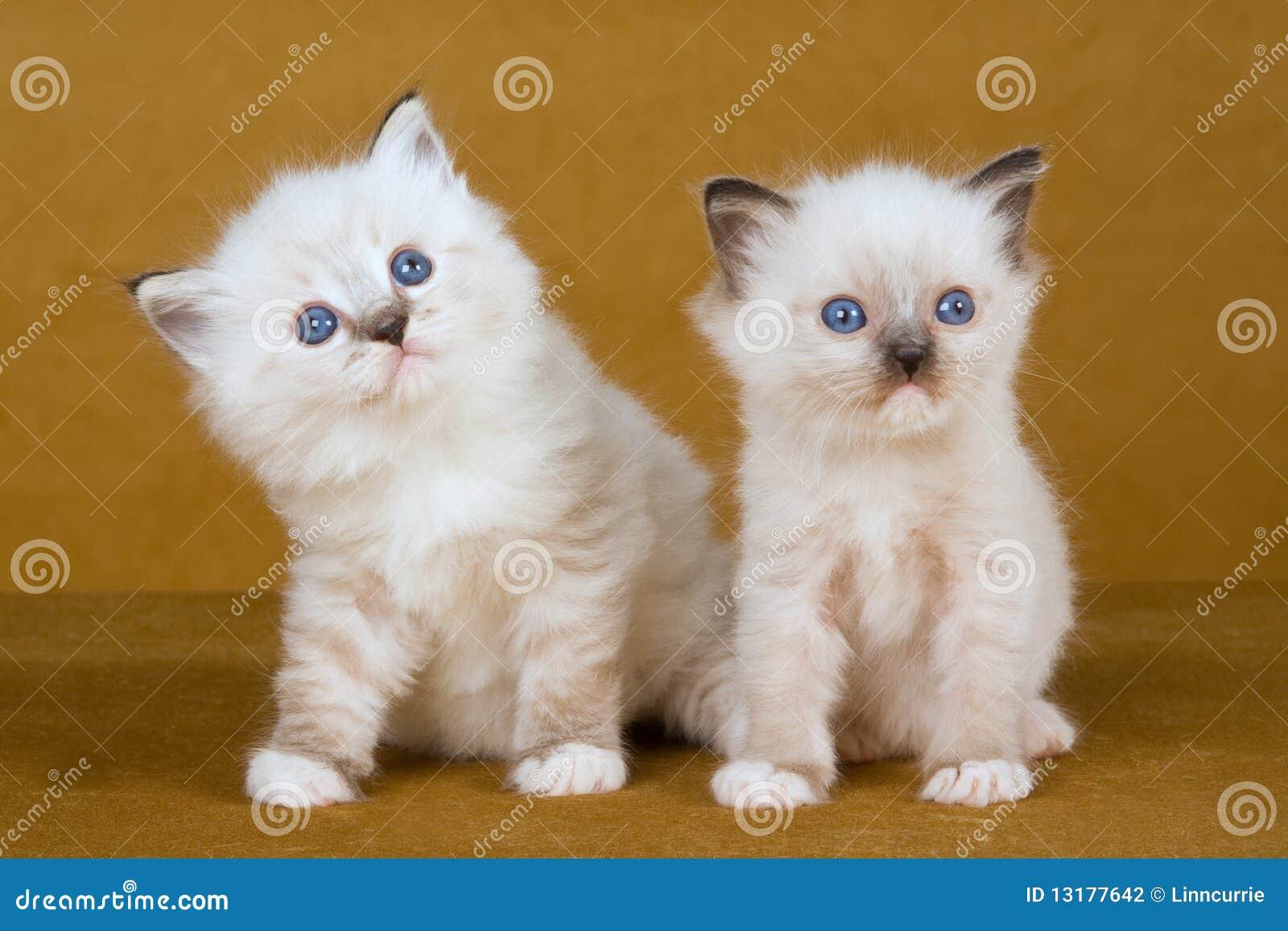 2 χαριτωμένα χρυσά γατάκια α