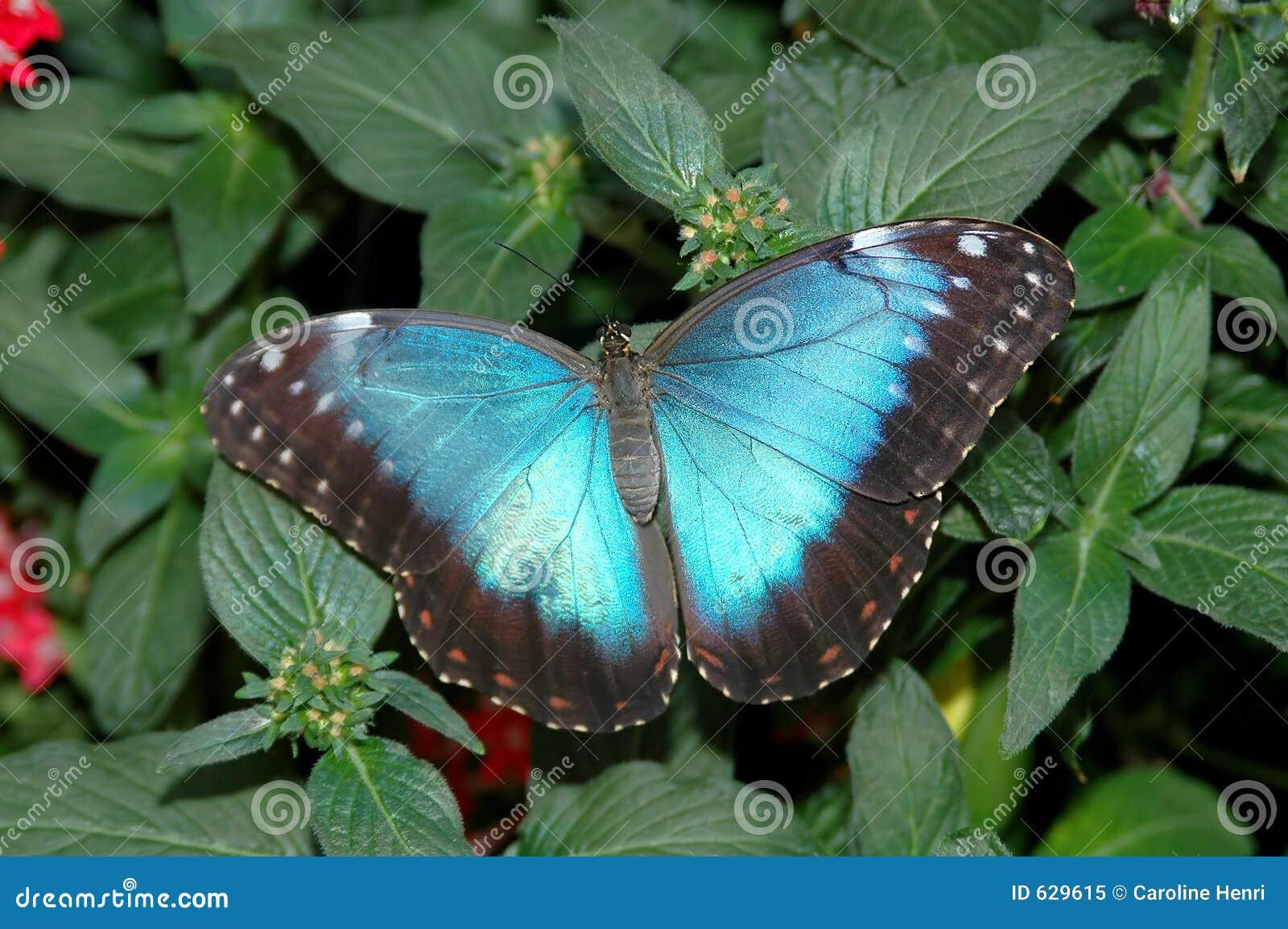 Download 2 голубых Peleides Morpho листьев Стоковое Изображение - изображение насчитывающей природа, пущи: 629615