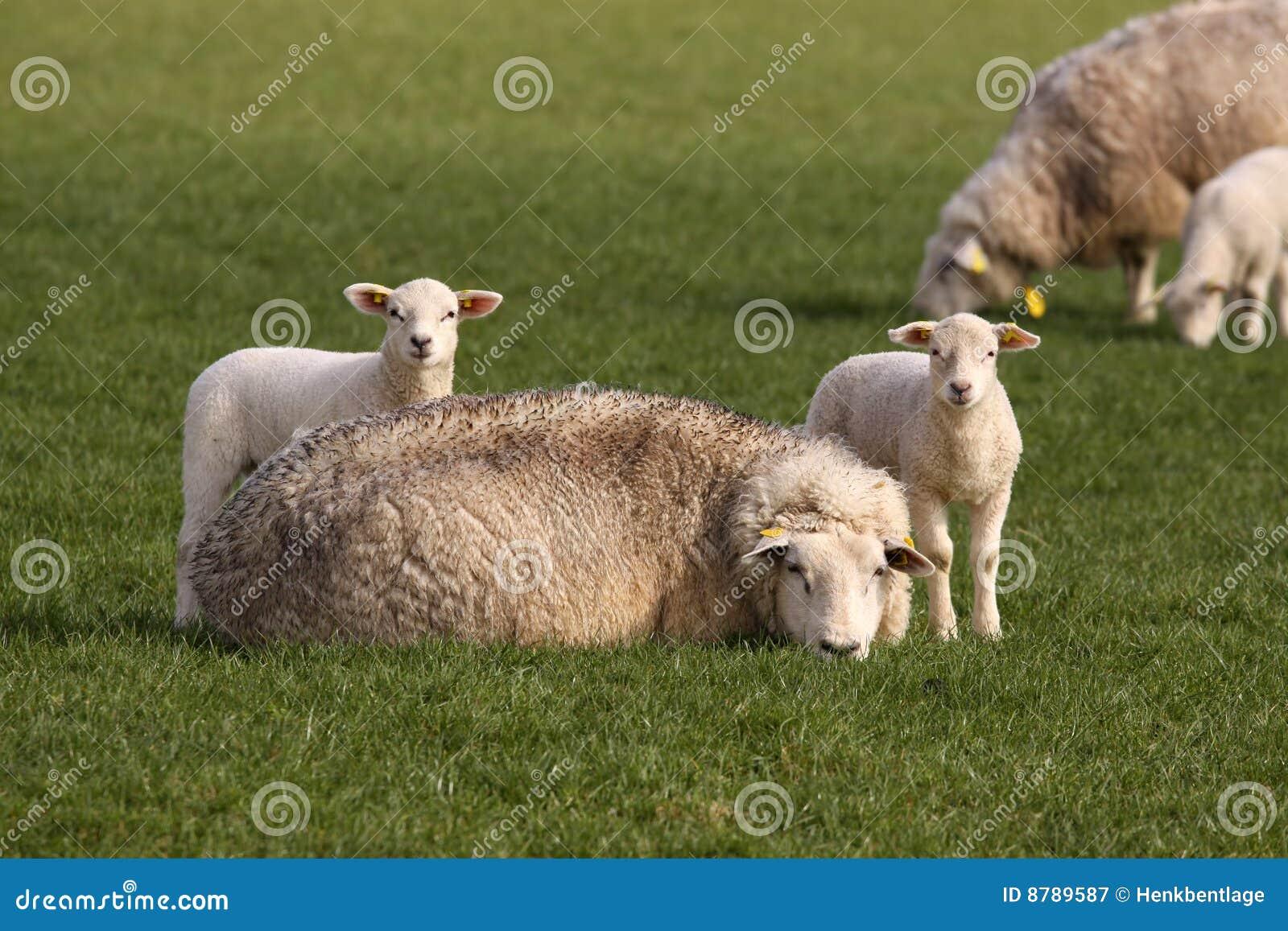 2 маленьких овечки и овцы мати смотря вас