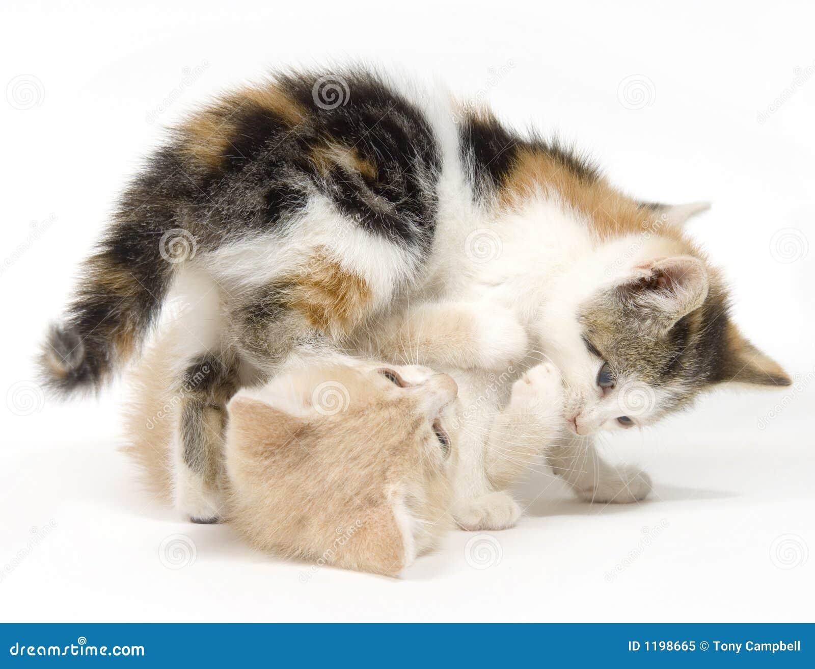 коты предпосылки играя белизну 2