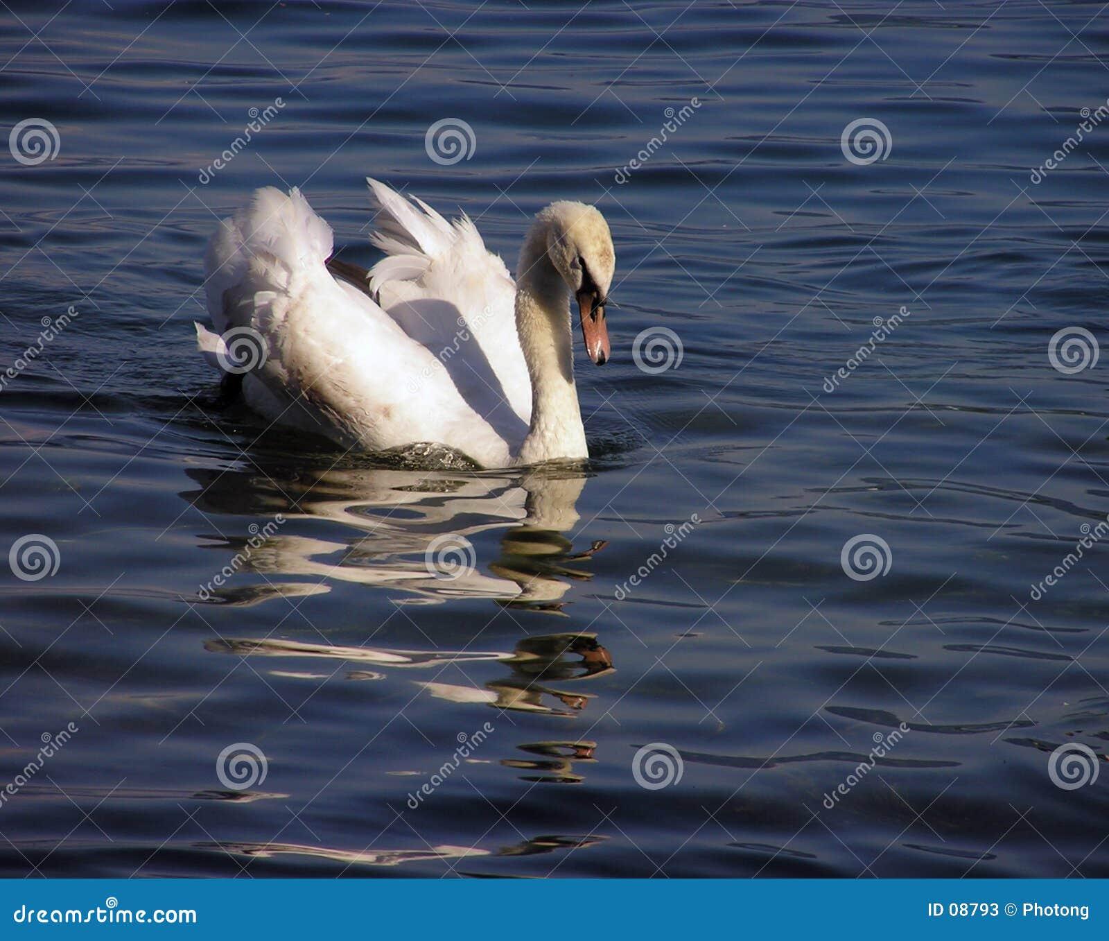 2只天鹅白色
