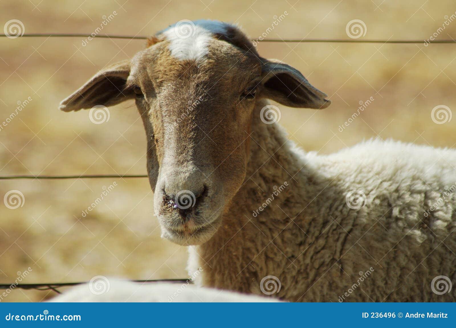 2 afrikanska får