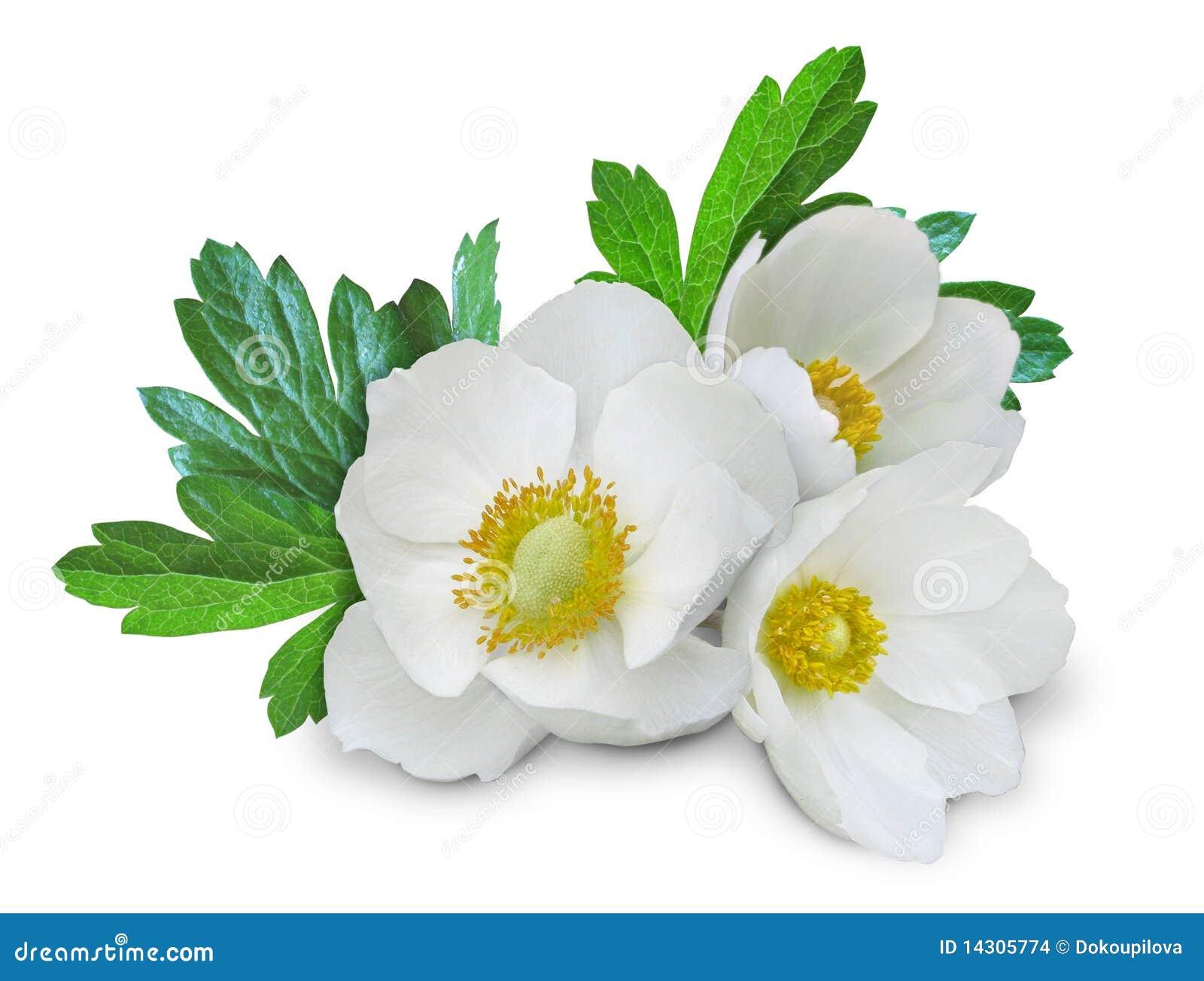 2 anemonowego kwiatu odizolowywali biel