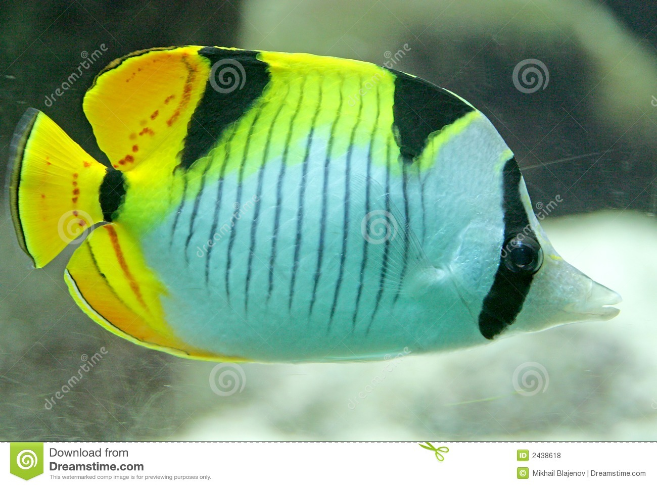 2 angelfish