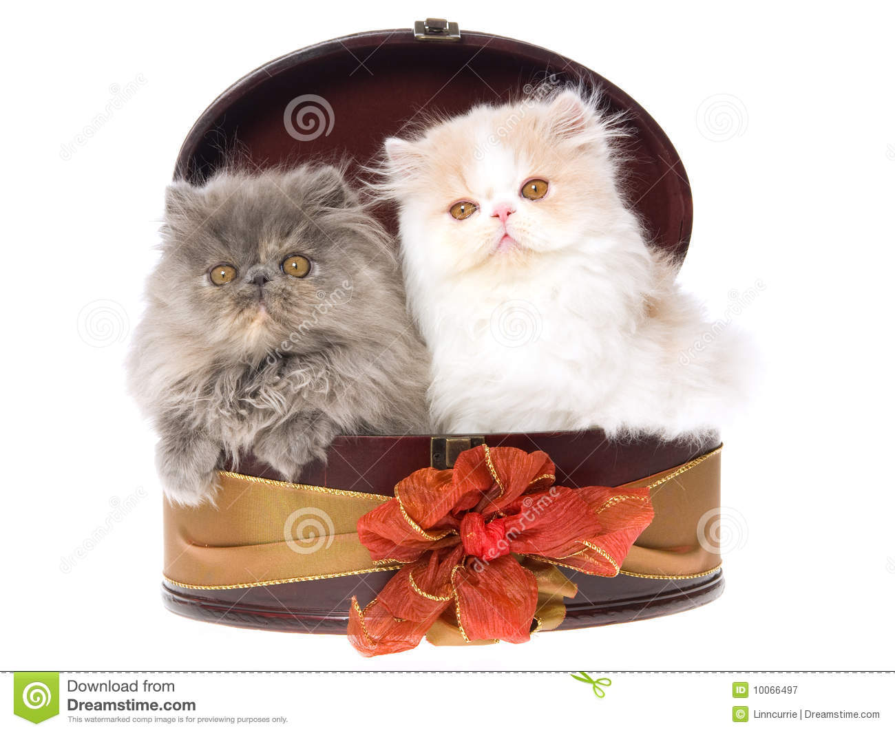 2 Cute Persian Kittens In Gift Box Stock Image Image