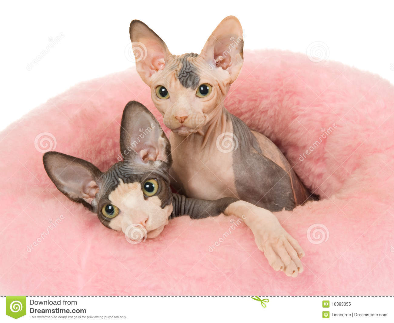 2 Cute Sphynx Kittens In Pink Fur Bed Royalty Free Stock ...