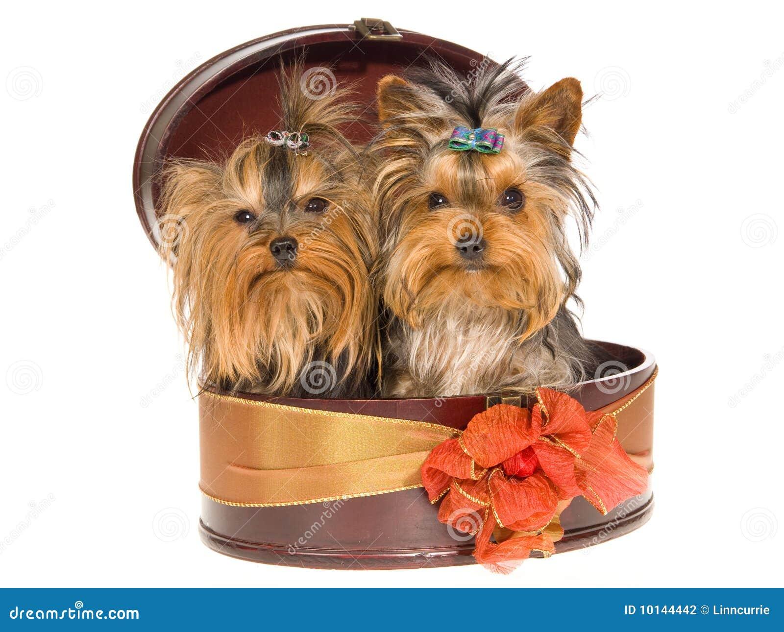 2 Cute Yorkie Pups Sitting Inside Round Gift Box Stock