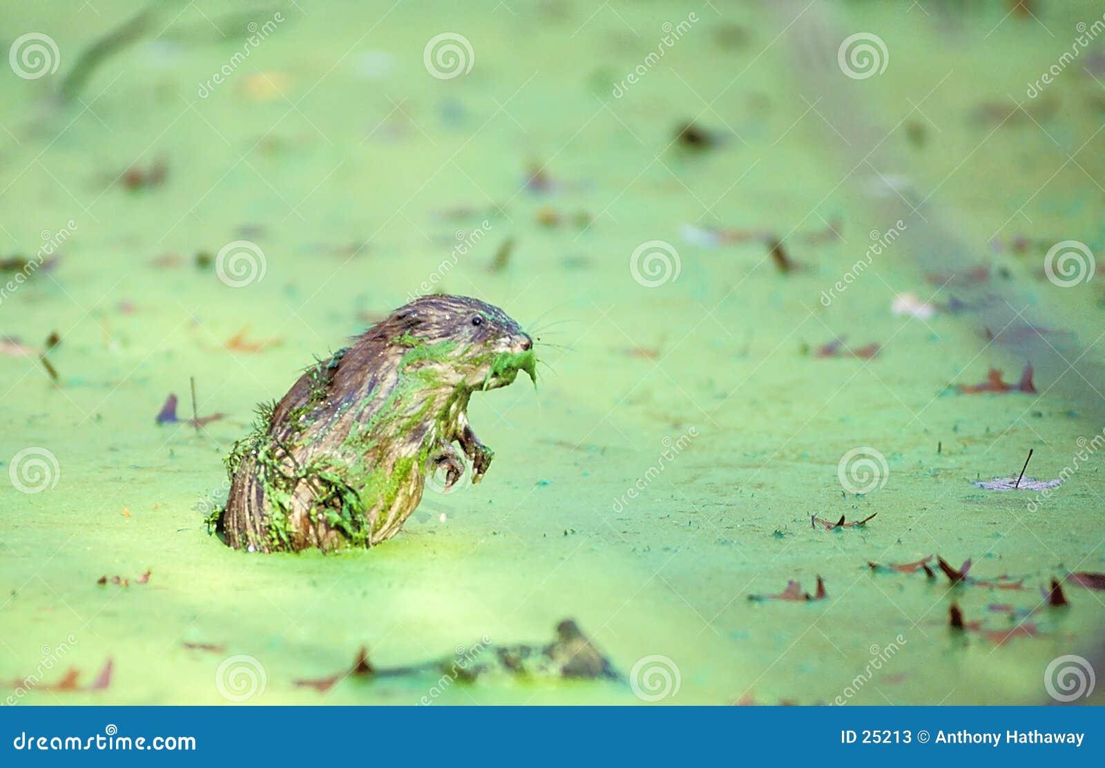 2 duckweed piżmoszczura