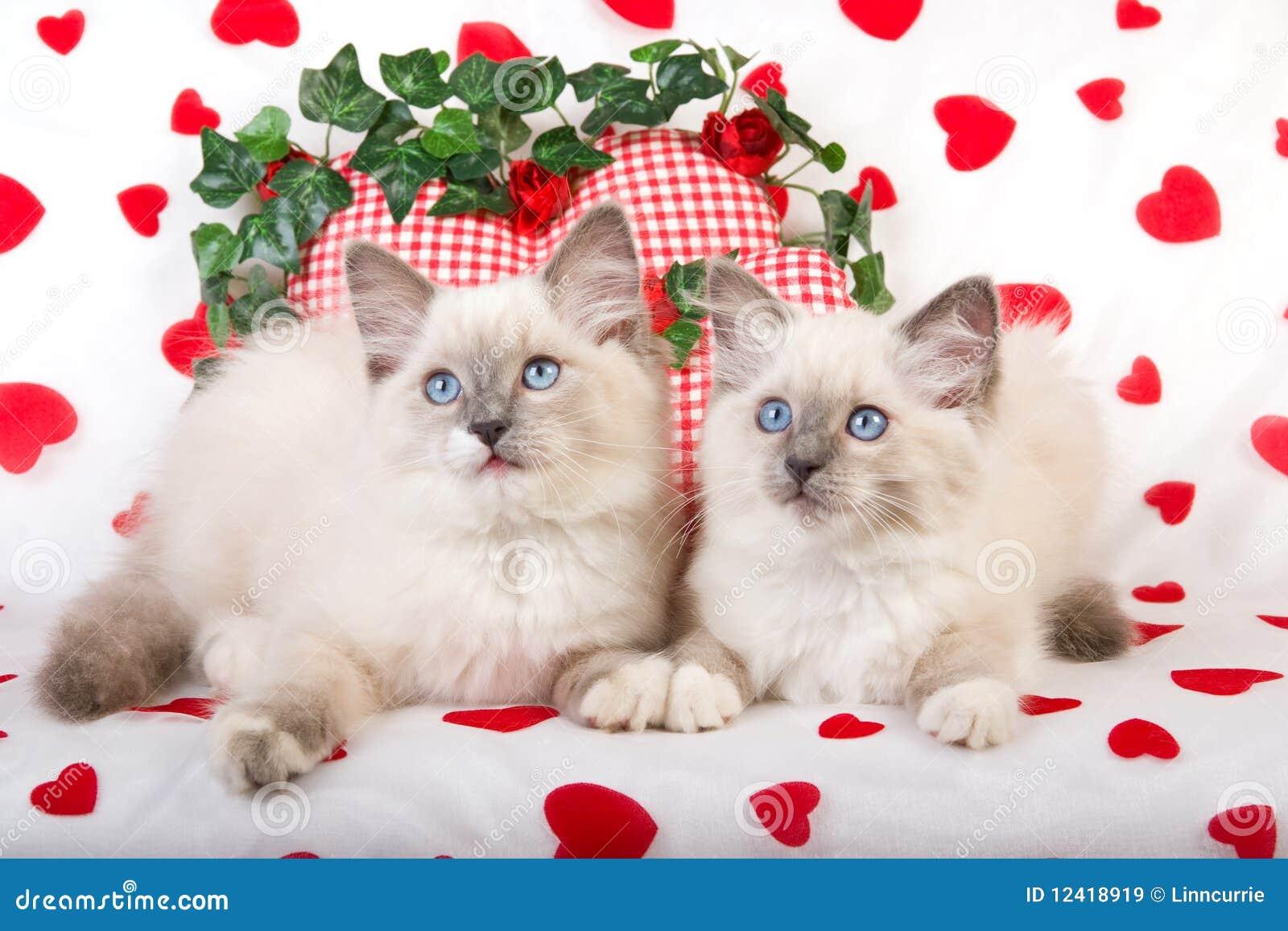 2 figlarek wsparć ragdoll valentine