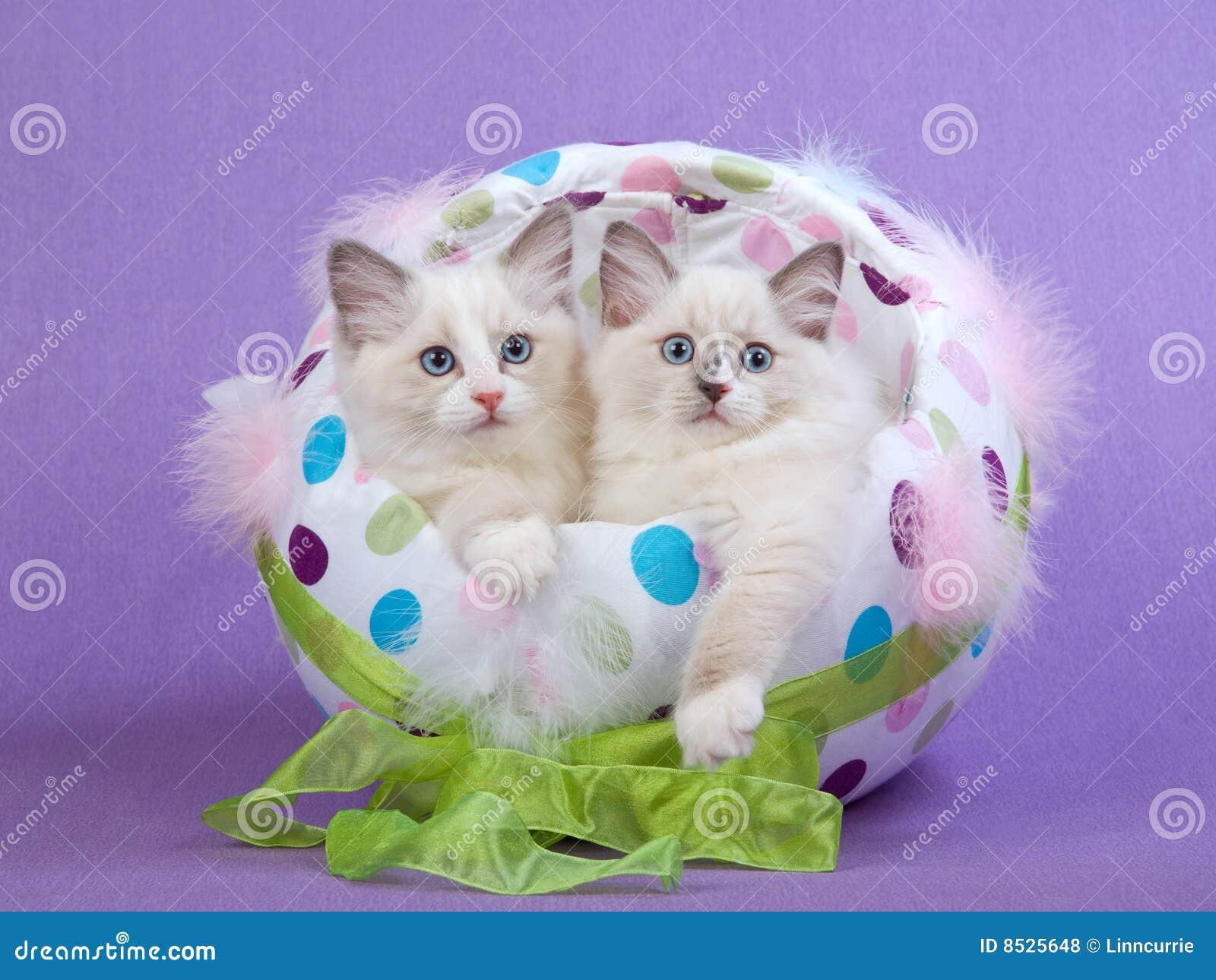 2 gatinhos bonitos de Ragdoll no ovo de Easter