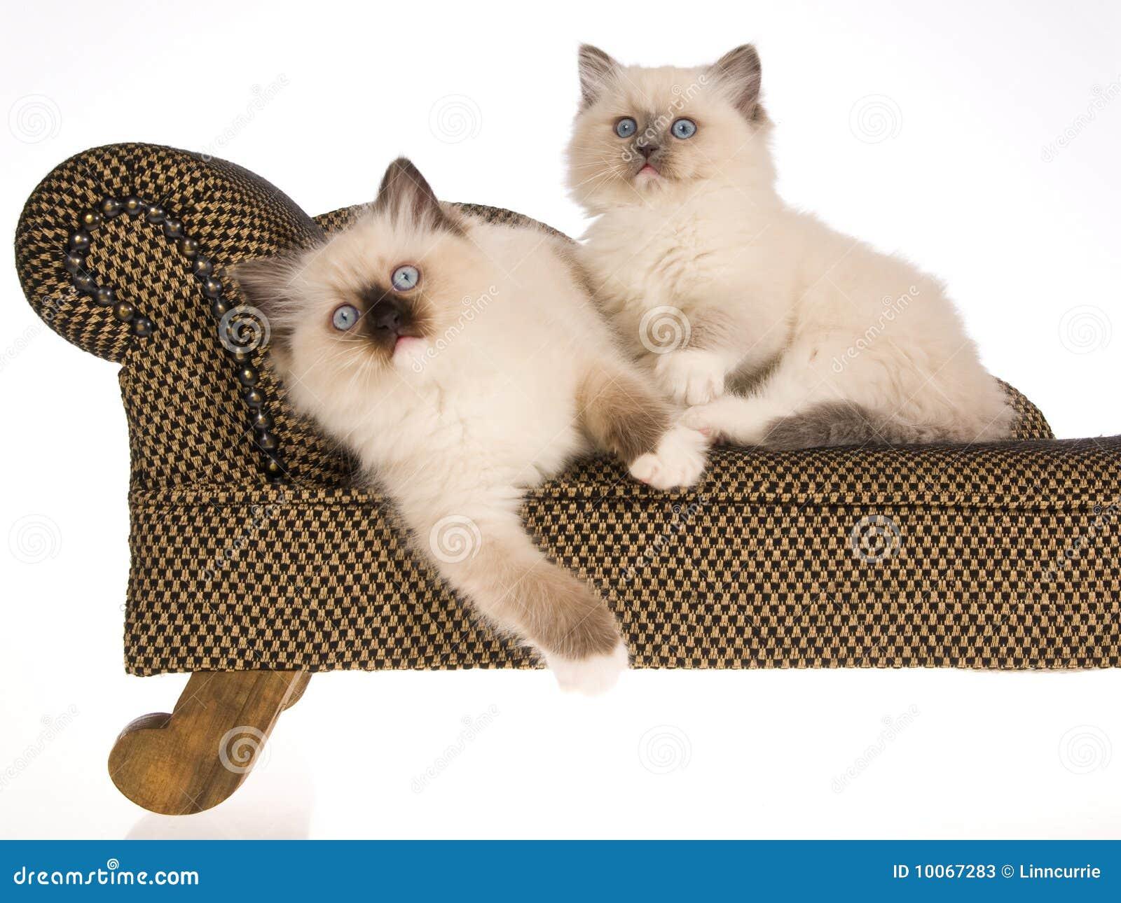 2 gatinhos bonitos de Ragdoll no sofá marrom
