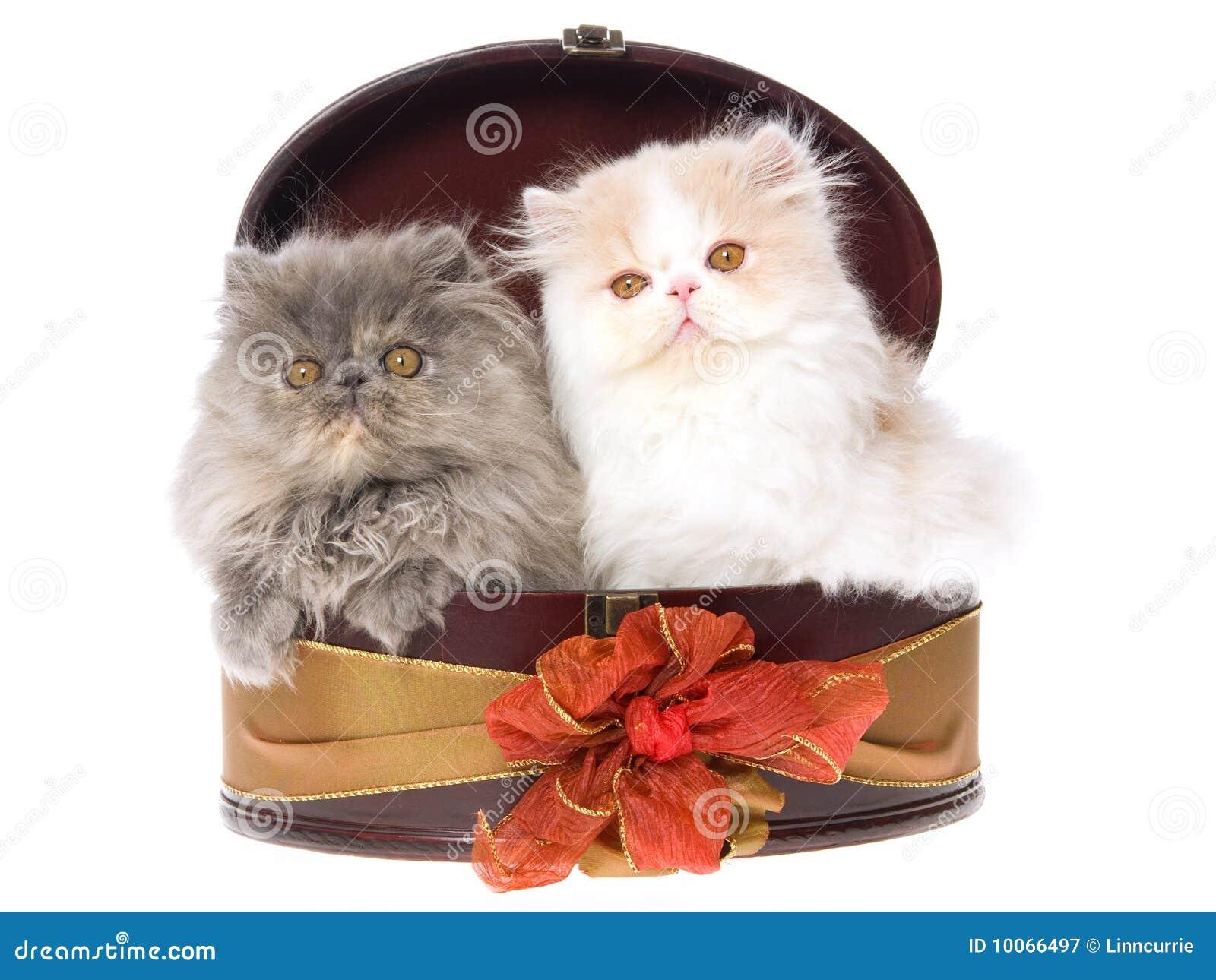 2 gatinhos persas bonitos na caixa de presente