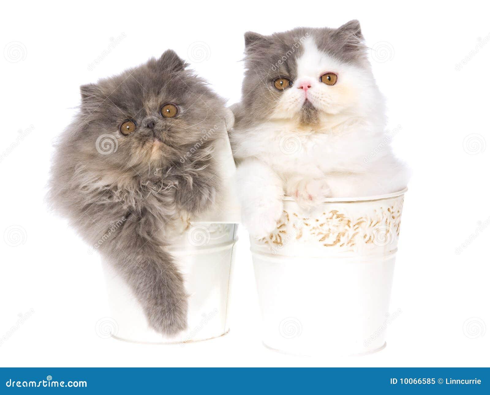 2 gatinhos persas nas cubetas brancas