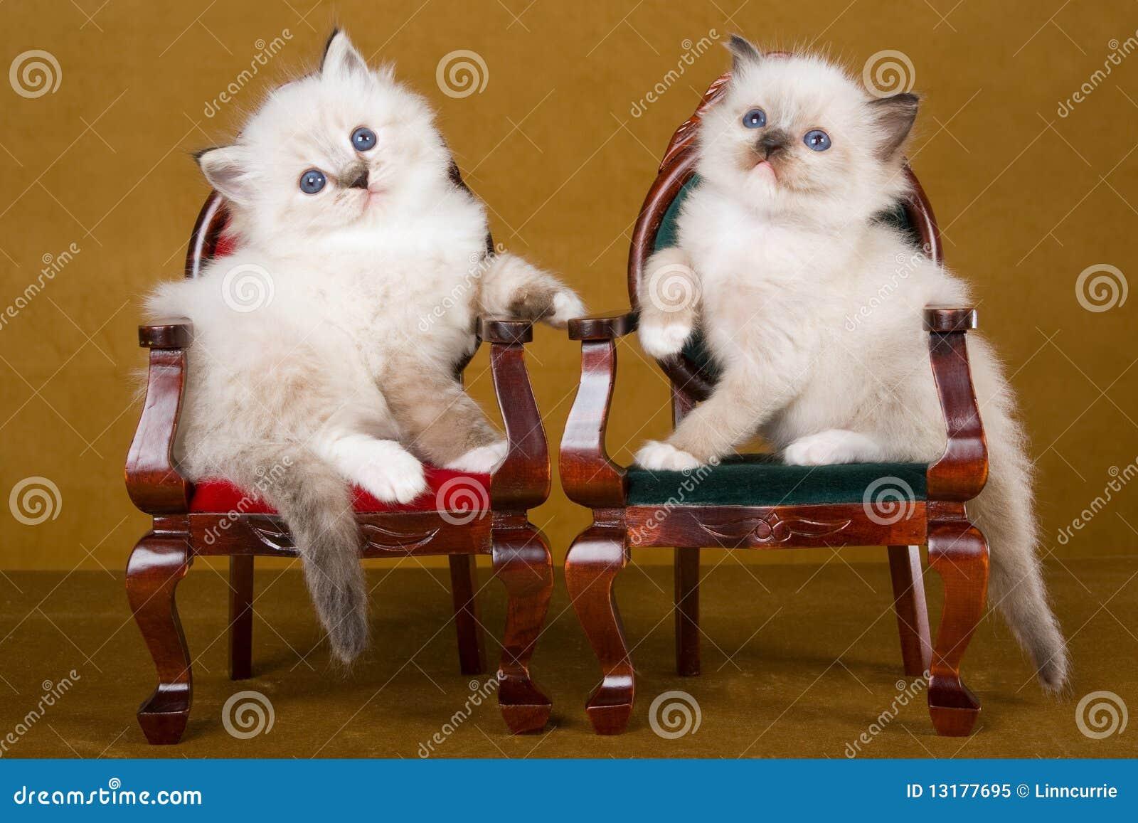 2 gattini svegli di Ragdoll sulle mini presidenze