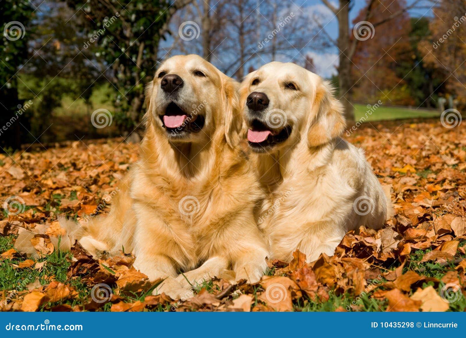 2 härliga guld- leavesretrievers för höst
