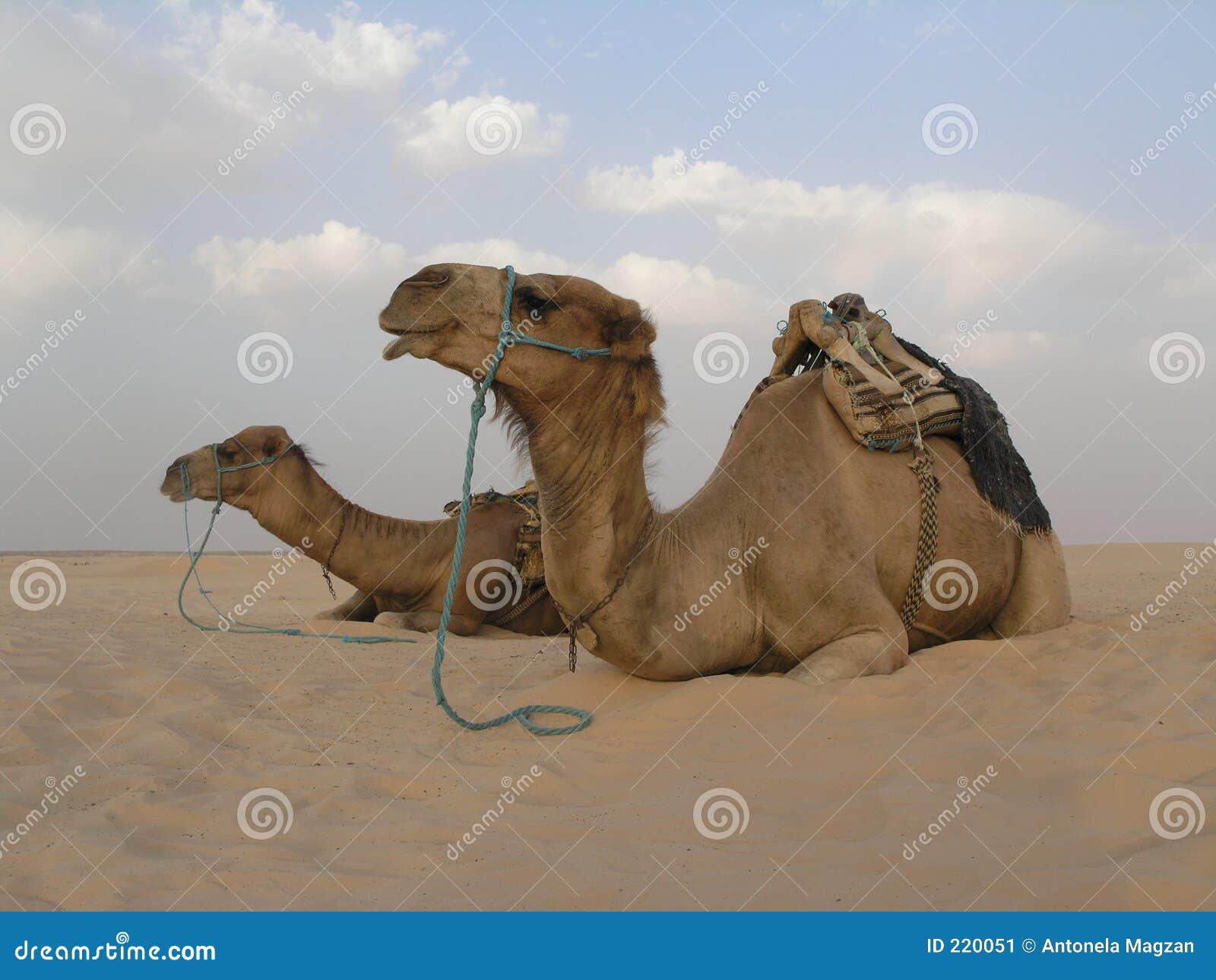 2 kamel