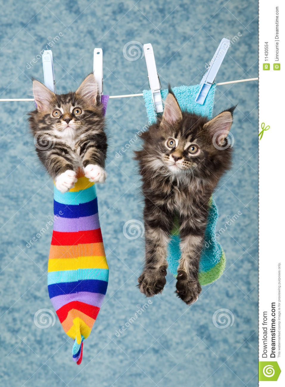 2 Maine Coon Kittens In Socks On Line Stock Images Image