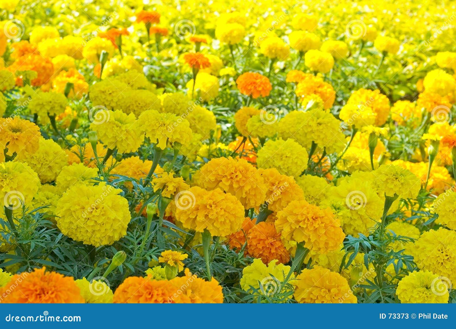 2 marigold