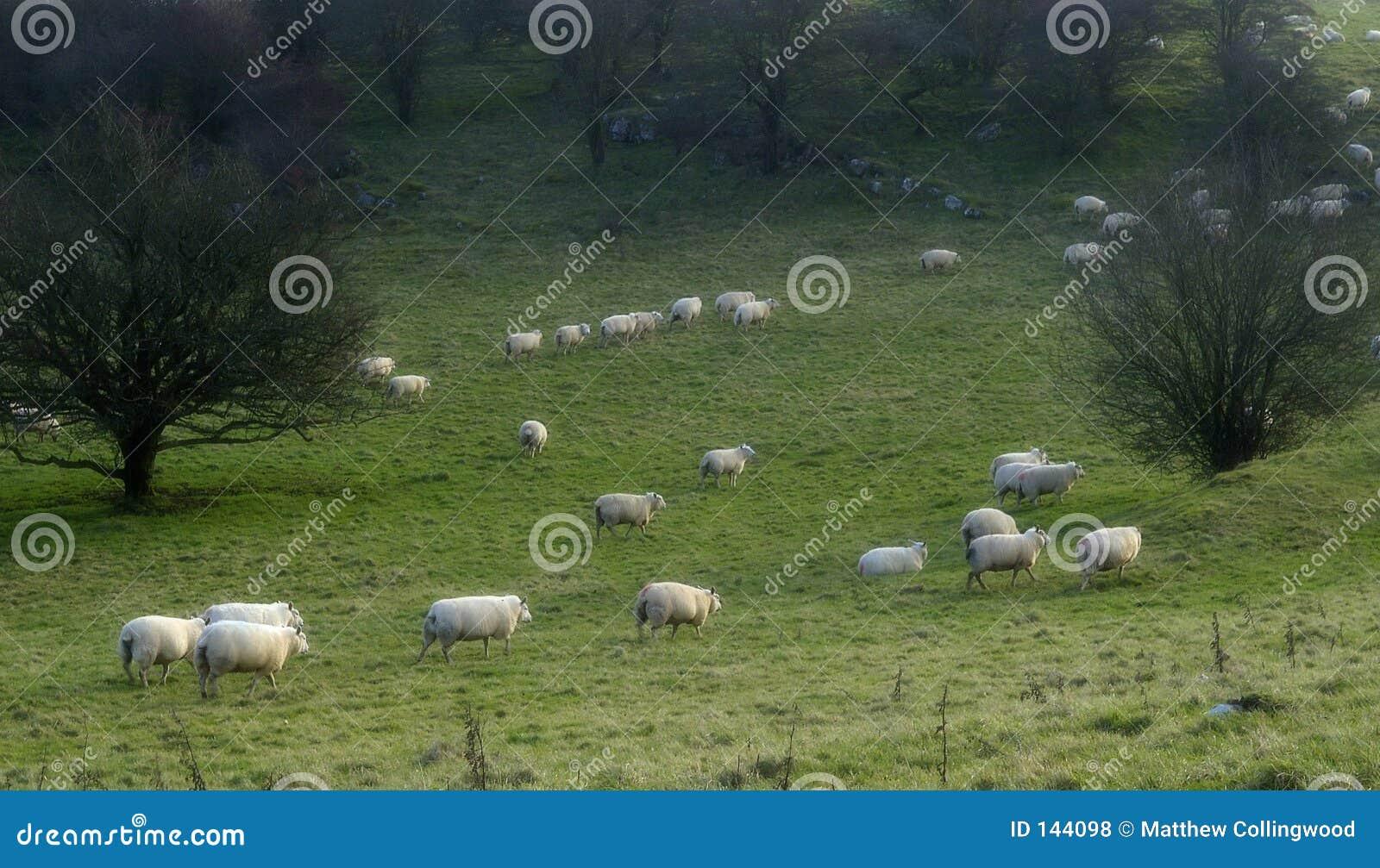 2 odliczającego owcę