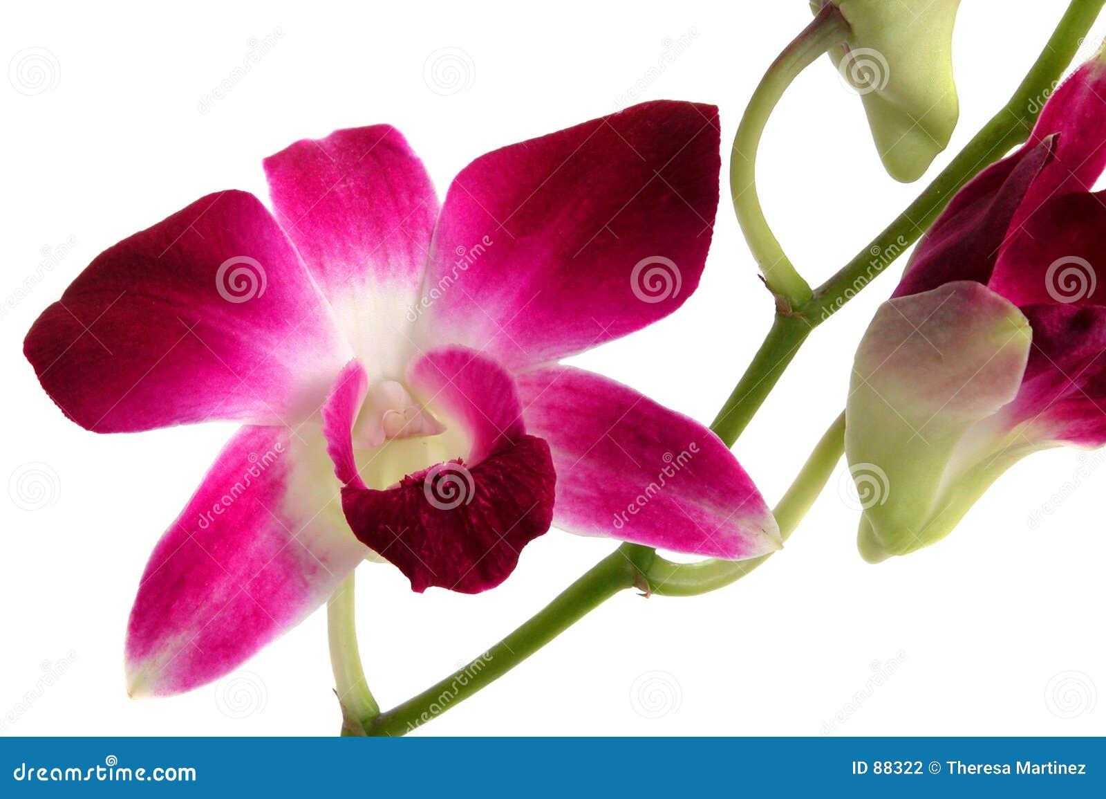 2 orchidei dendrobium