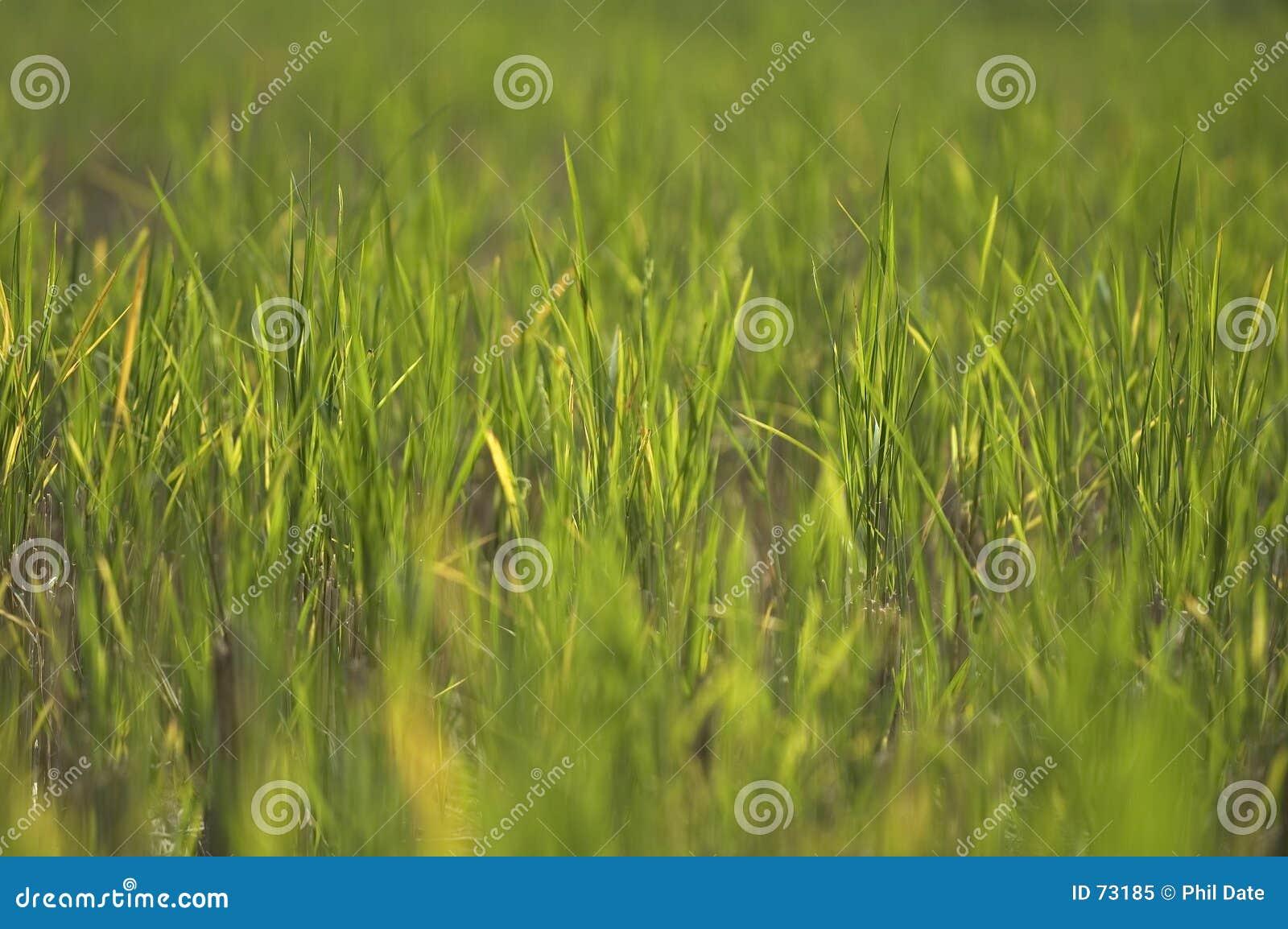 2 paddyfield