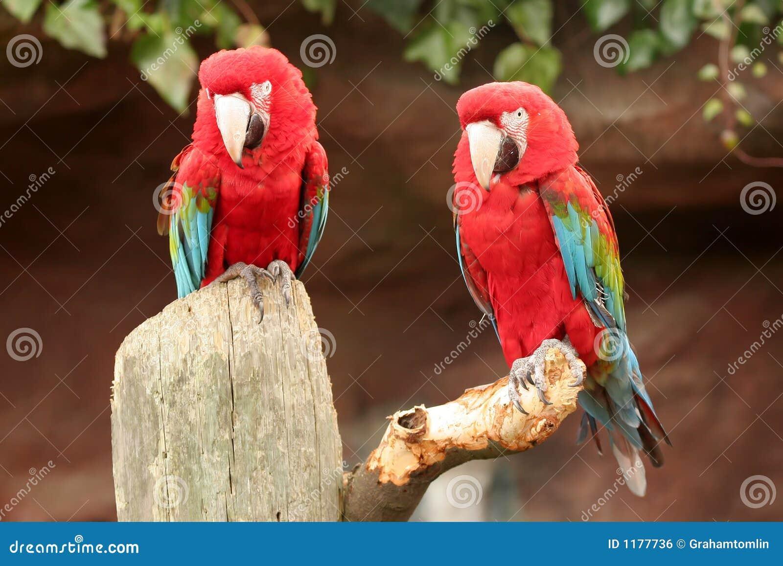 2 pappagalli
