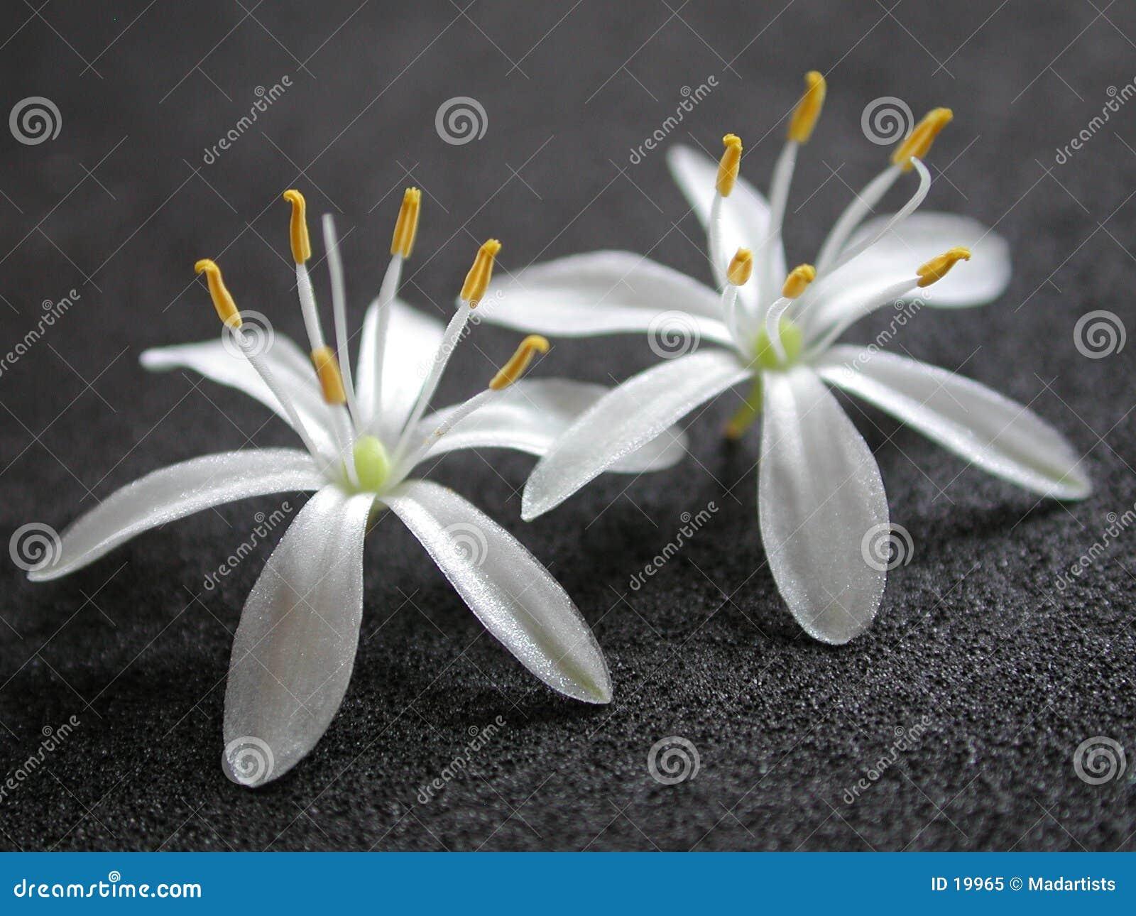 2 pequeñas flores bonitas blancas