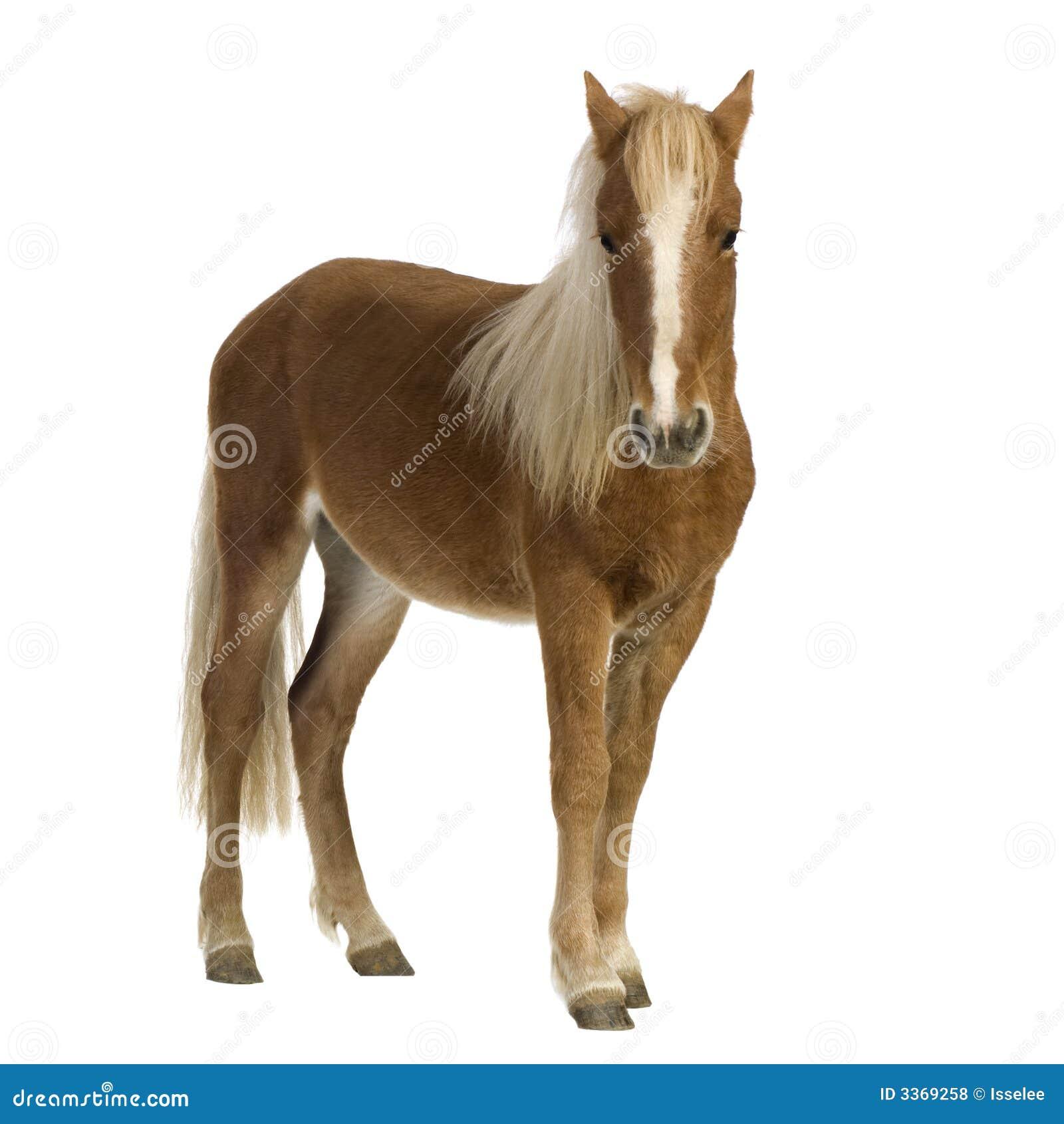 2 ponnyshetland år