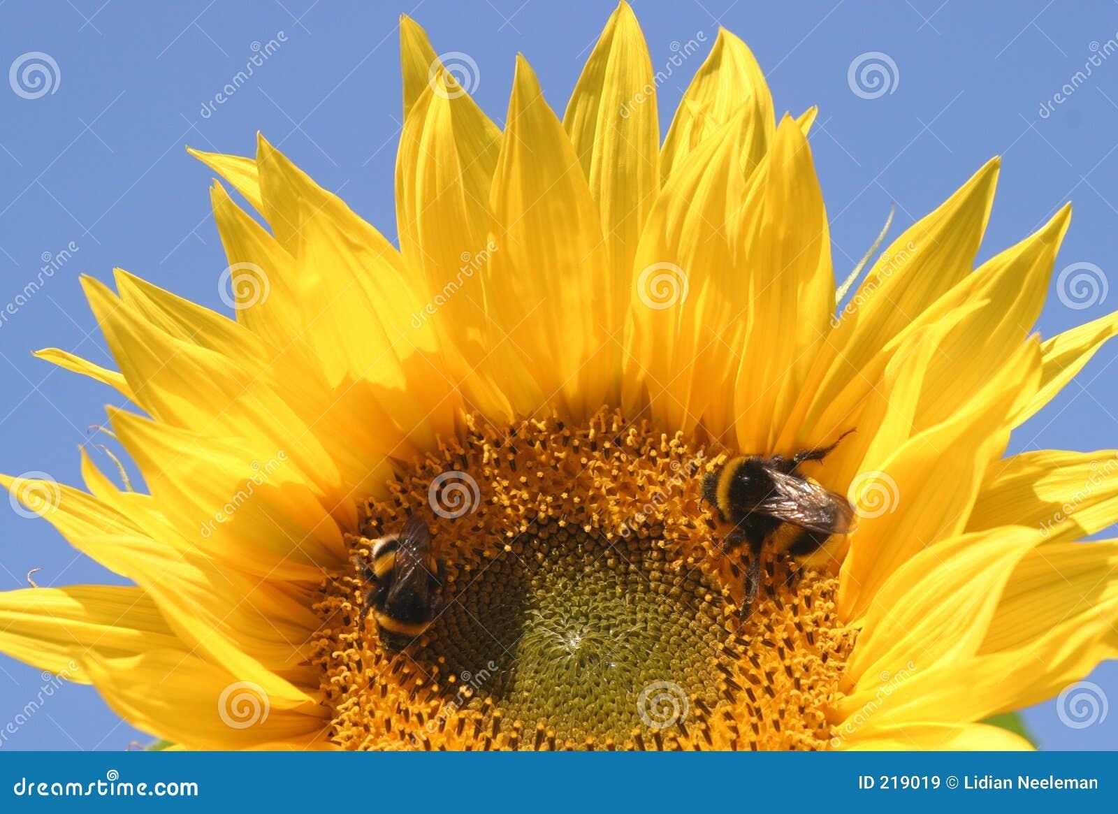 2 pszczoły słonecznikowej