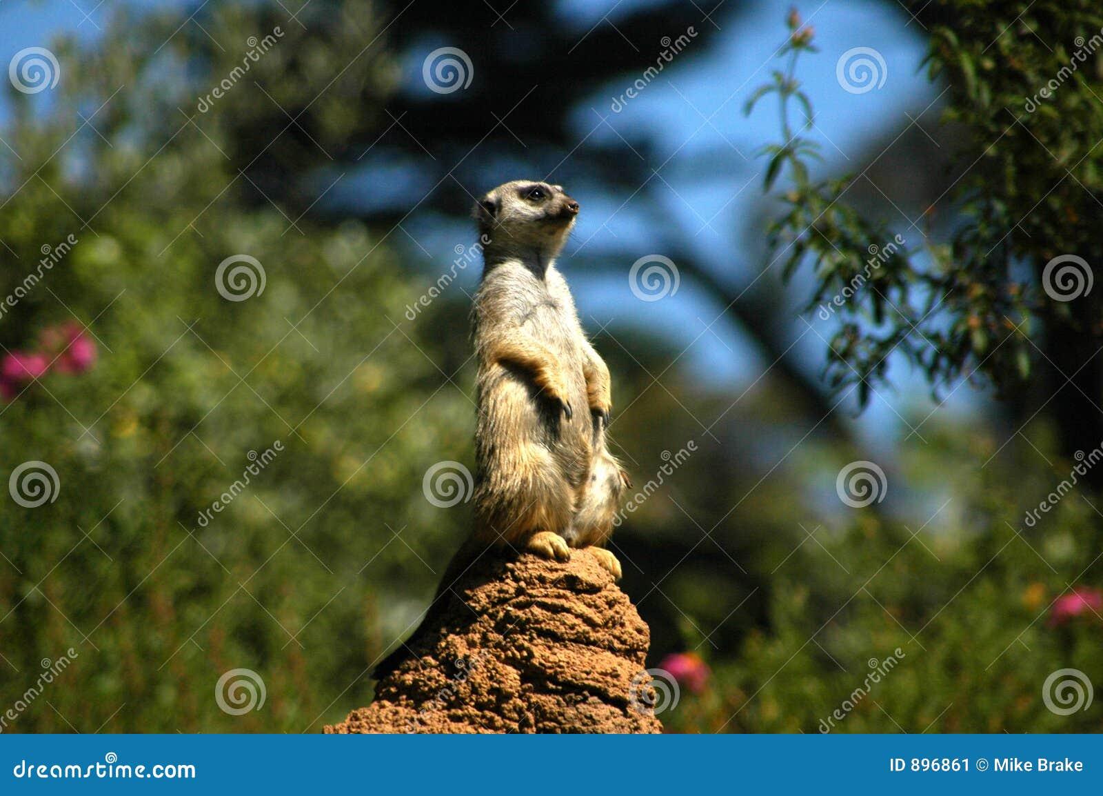 2 punktów obserwacyjnych meerkat