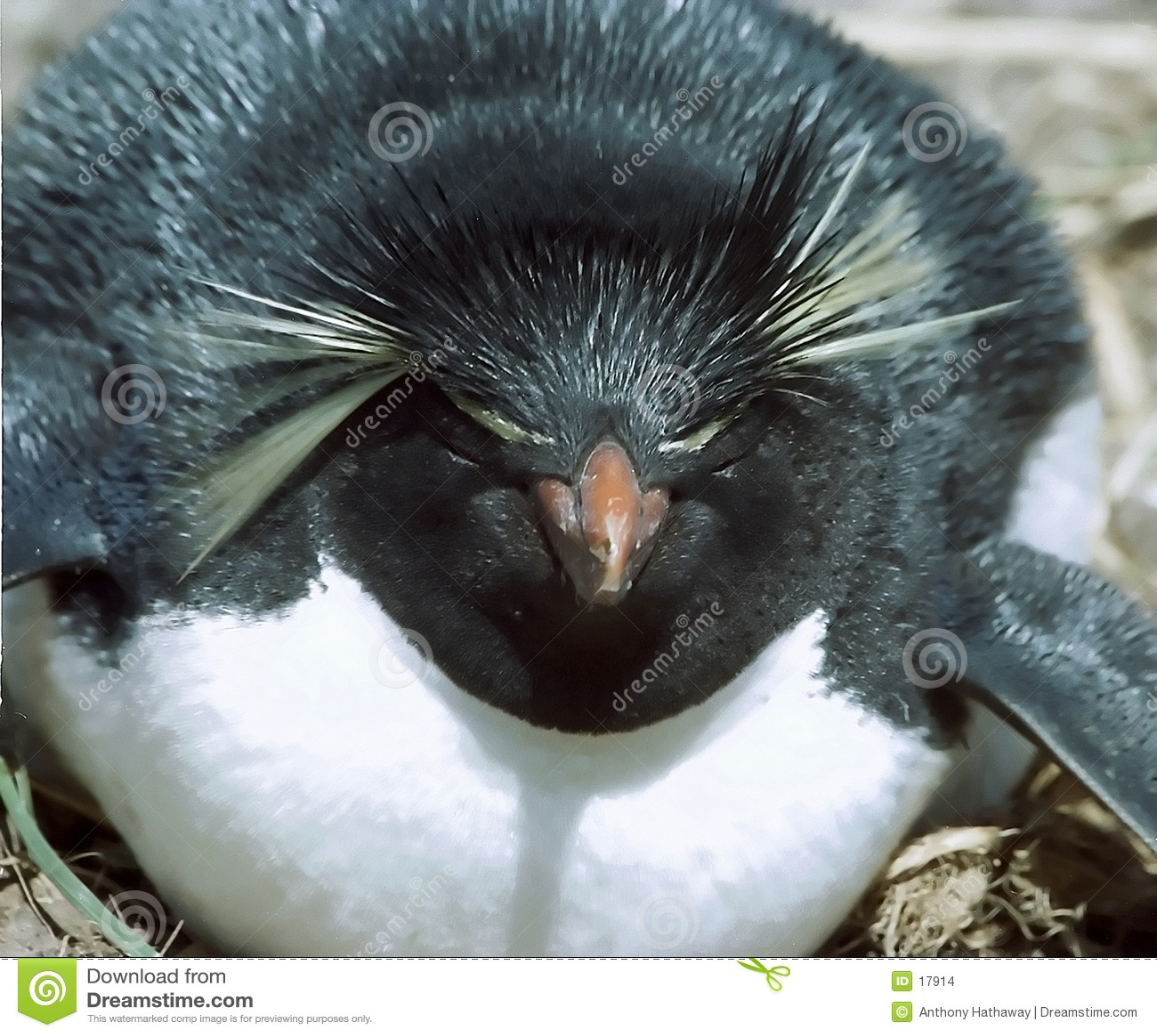 企鹅rockhopper