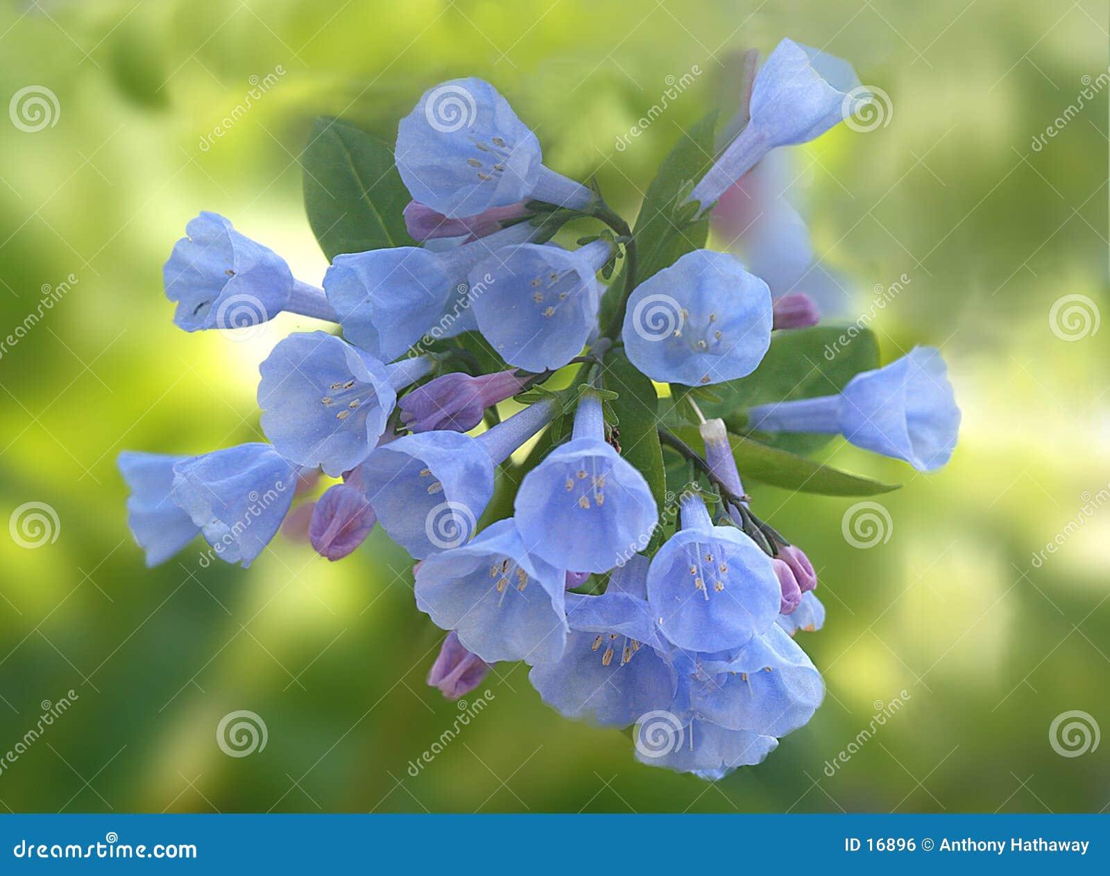 会开蓝色钟形花的草弗吉尼亚