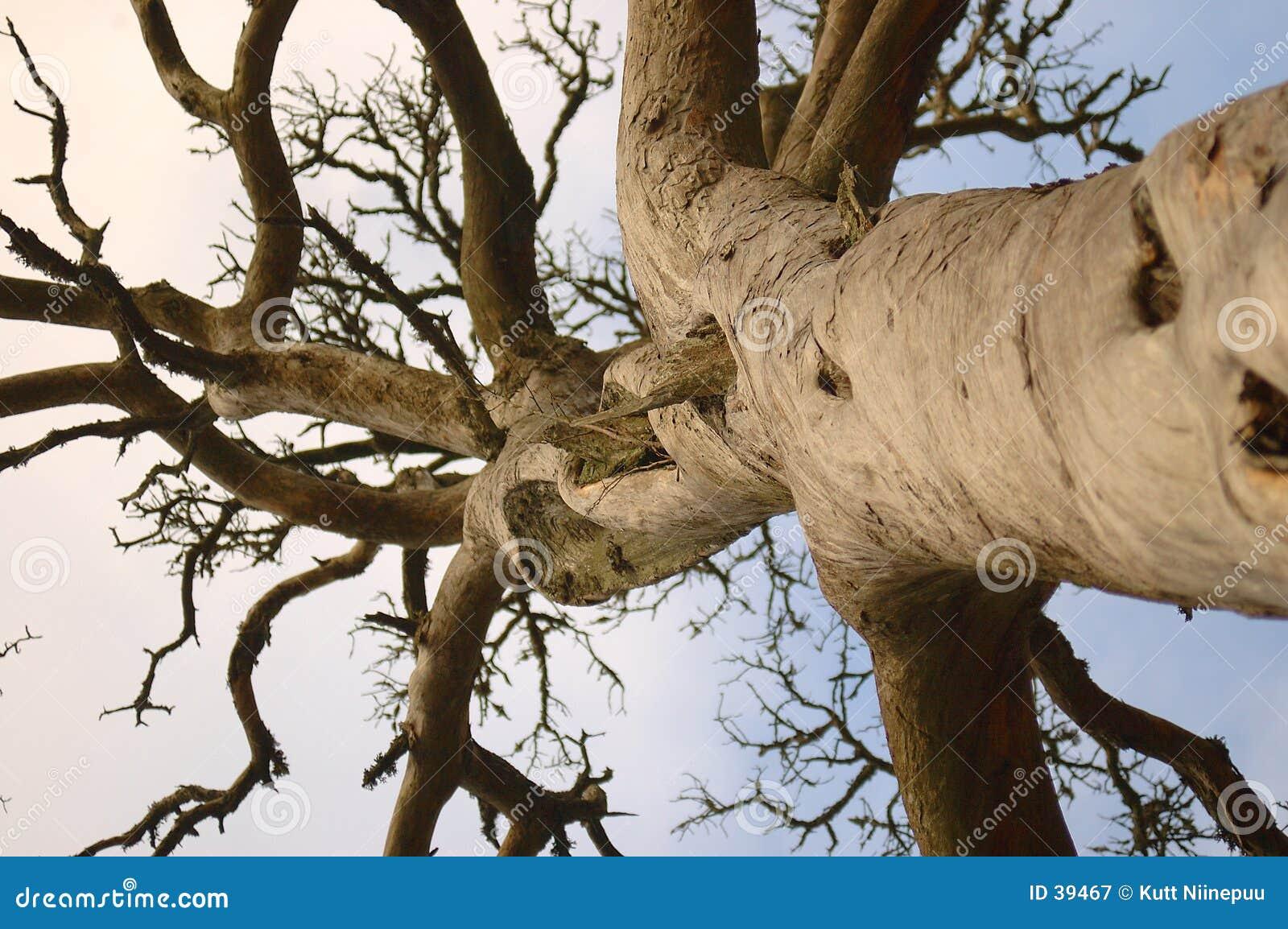 停止的杉木树干