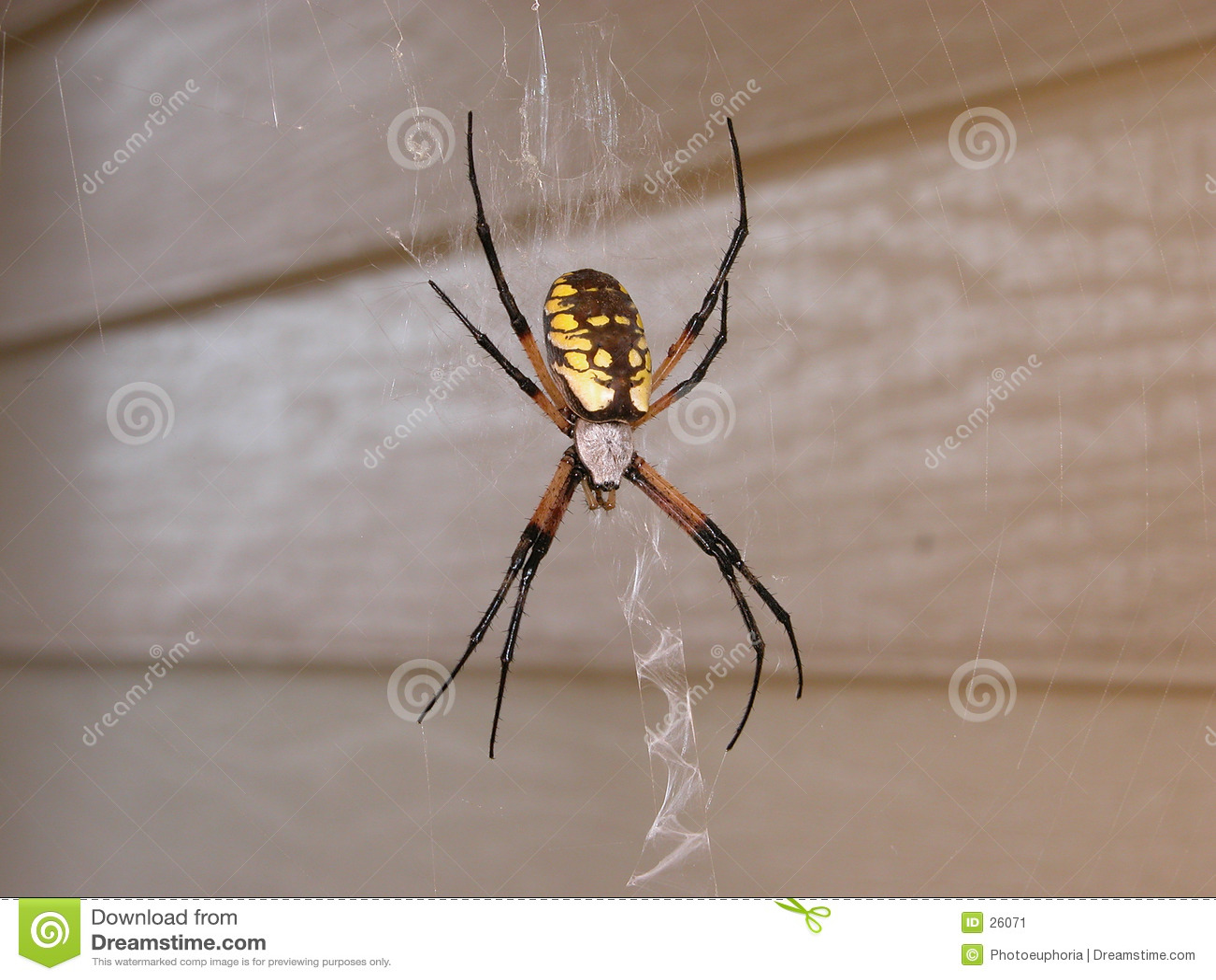 女性花园蜘蛛万维网黄色