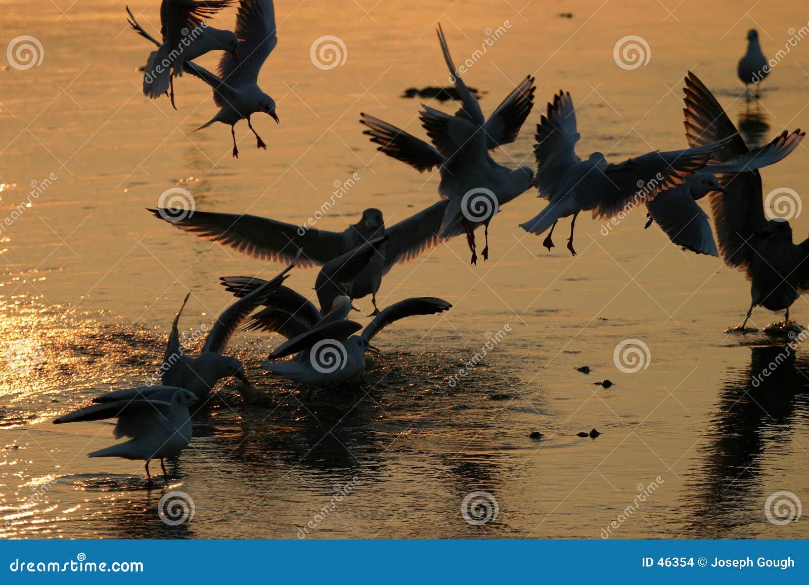 拌嘴的海鸥