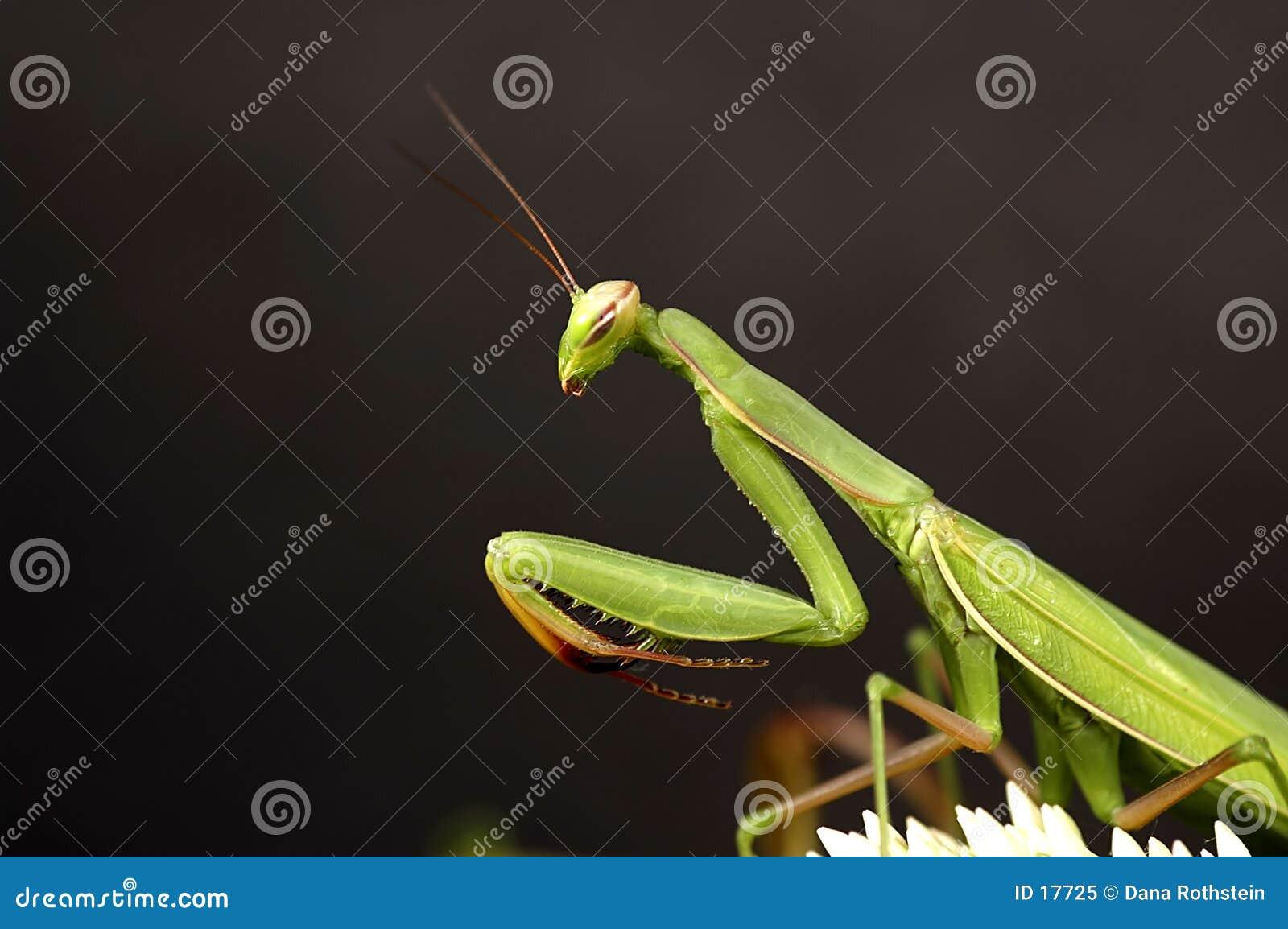 捕食的螳螂